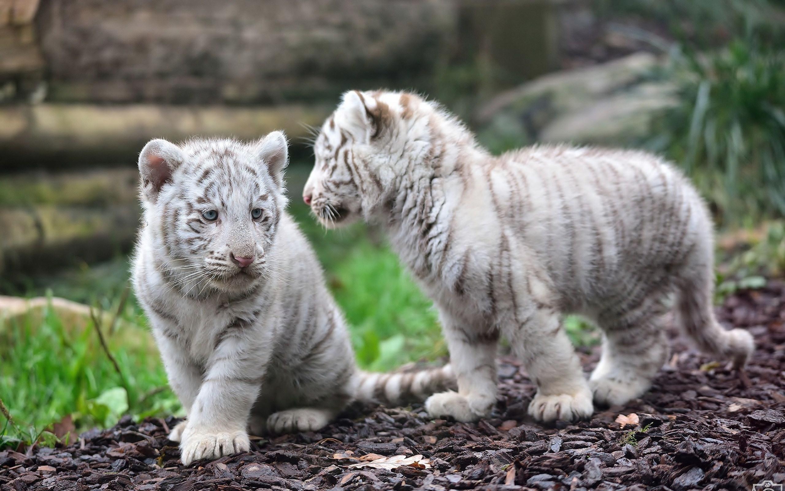 White Tiger Animal Wallpaper, hd walepaper, free wallpaper