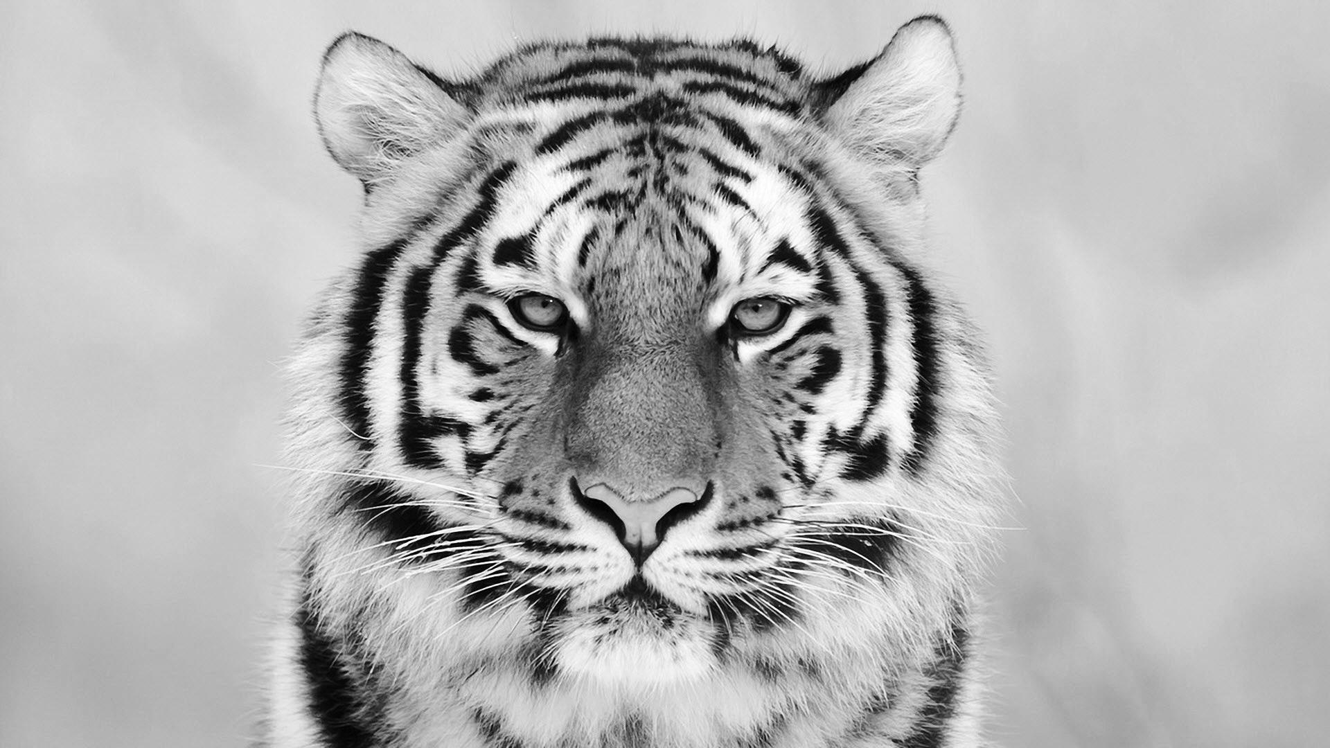 White Tiger Free wallpaper