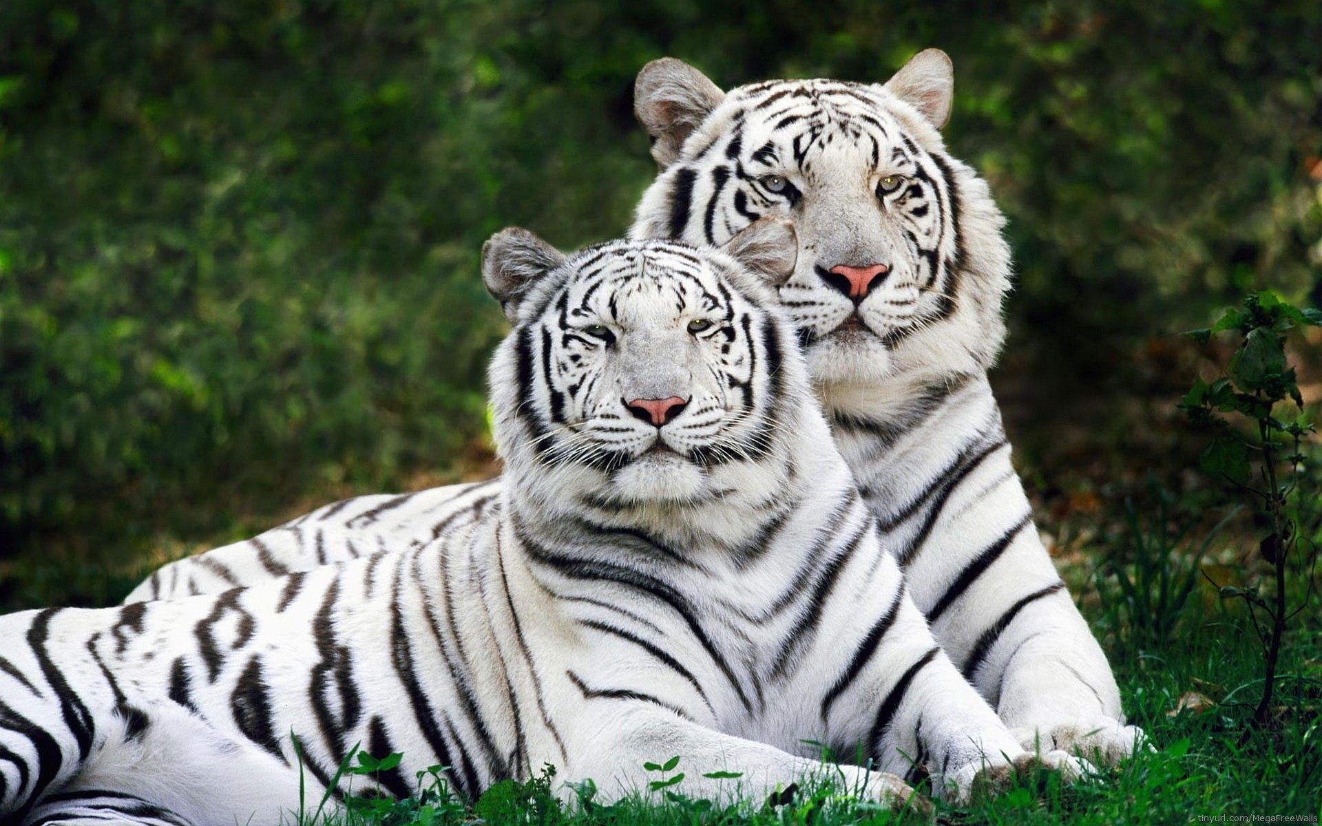 White Tiger HD Wallpapers, hd walepaper, free wallpaper