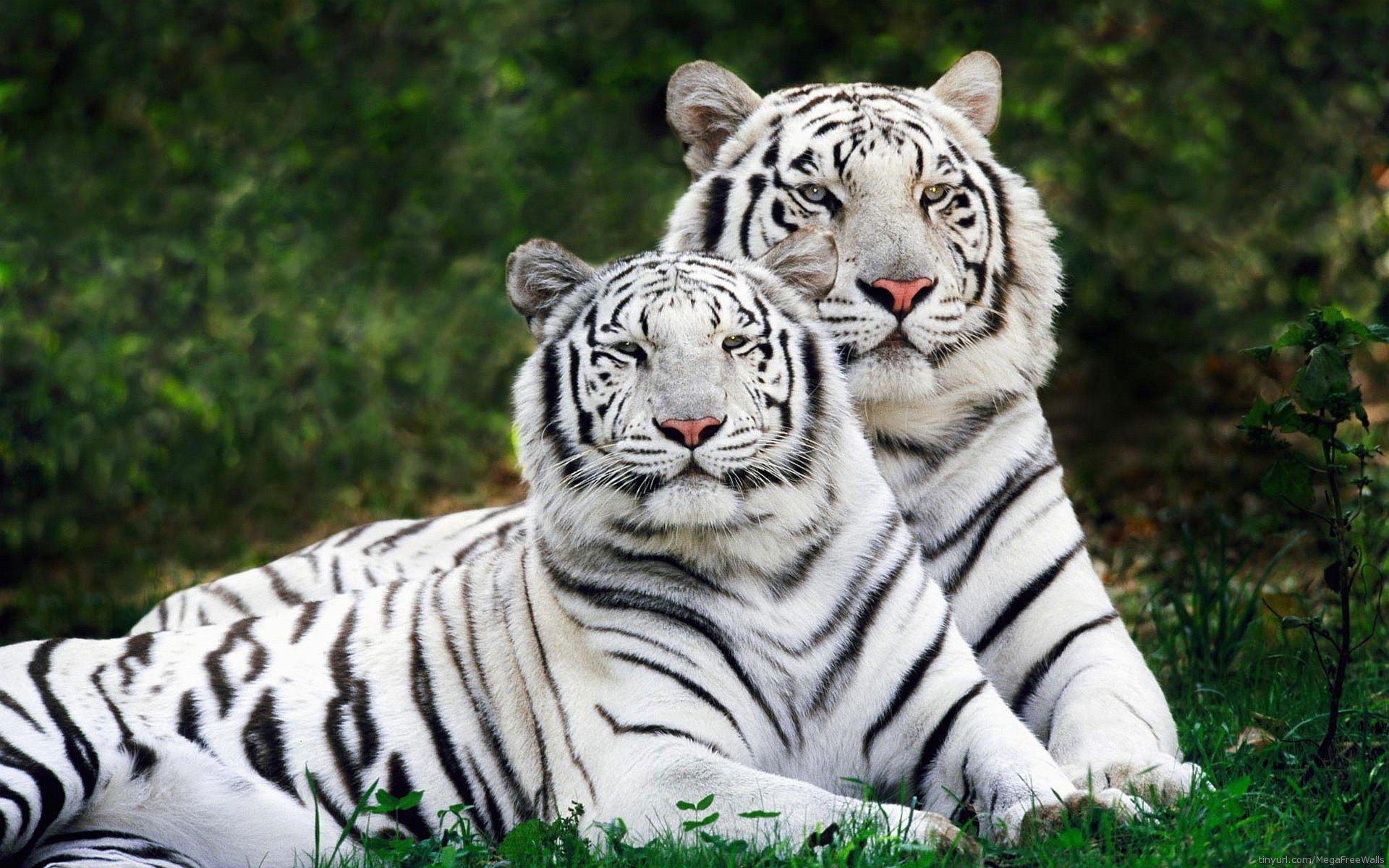 white tiger hd wallpapers 4k animal, 4k images, 4k white tiger, hd