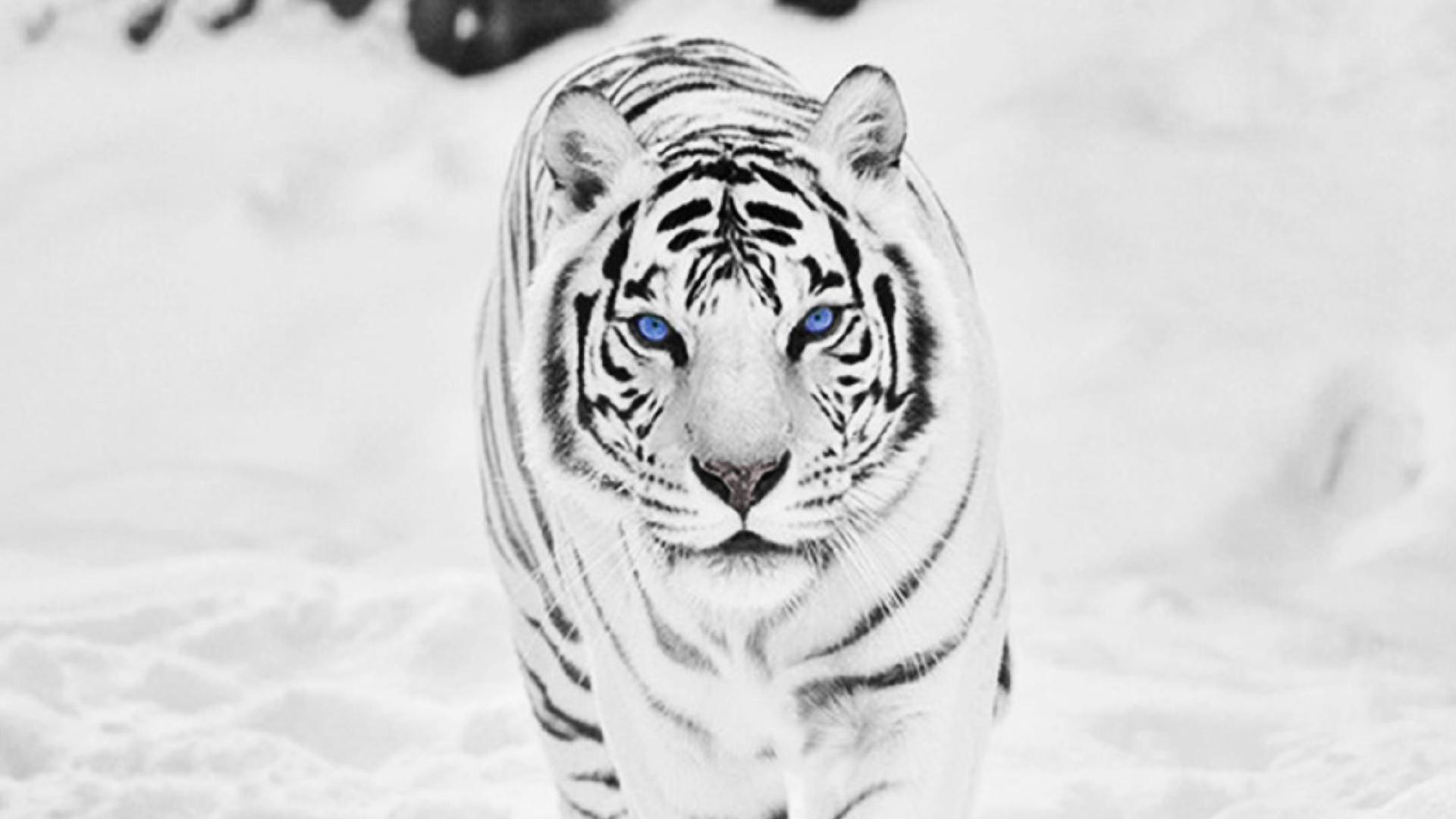 White Tiger Wallpaper Photo