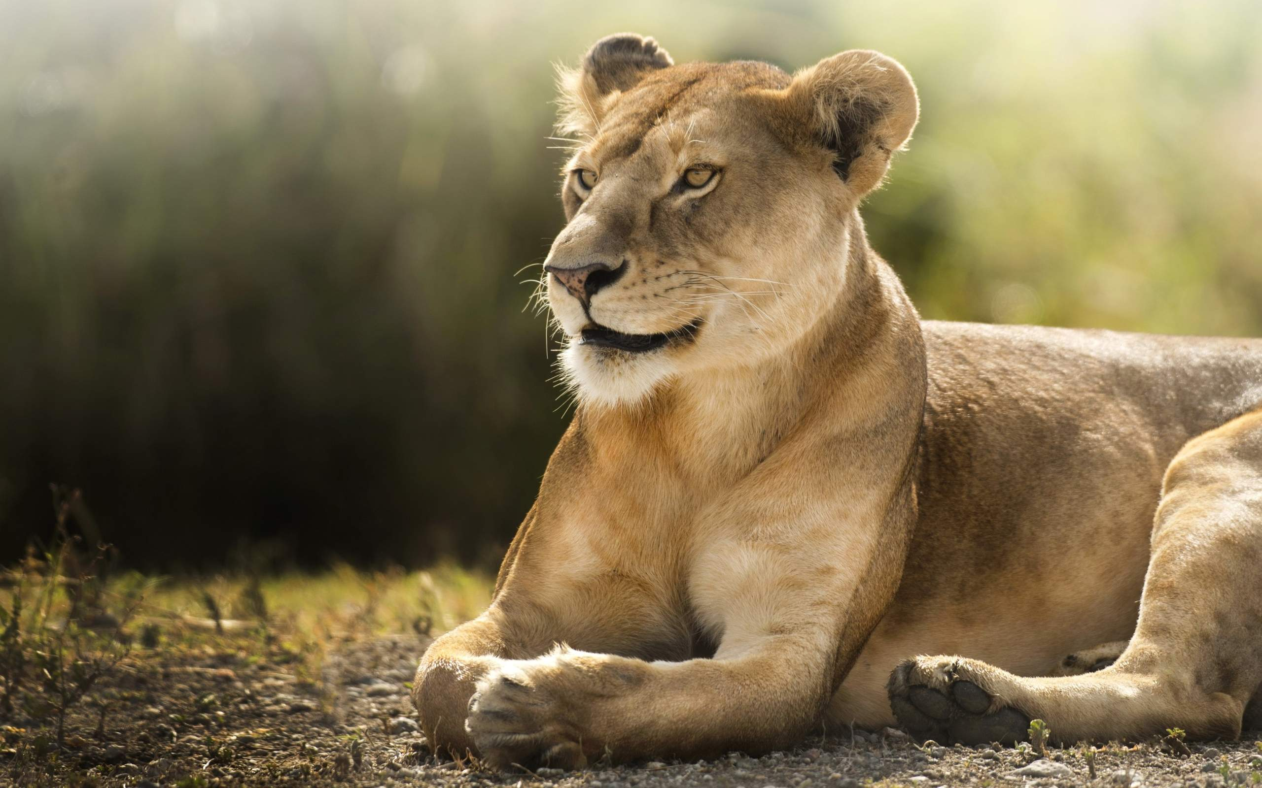 African Lioness HD