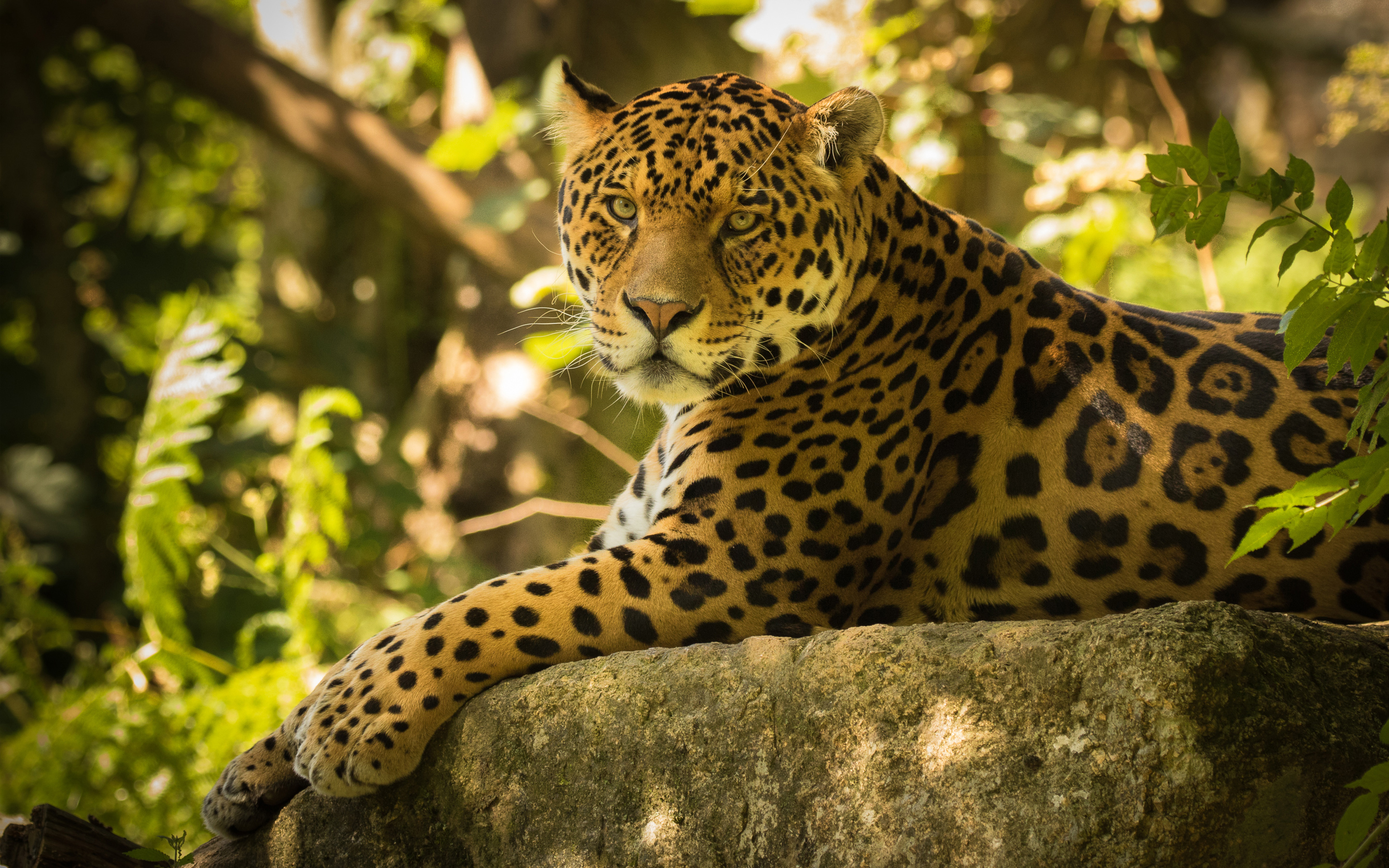Chincha the Jaguar, hd walepaper, free wallpaper