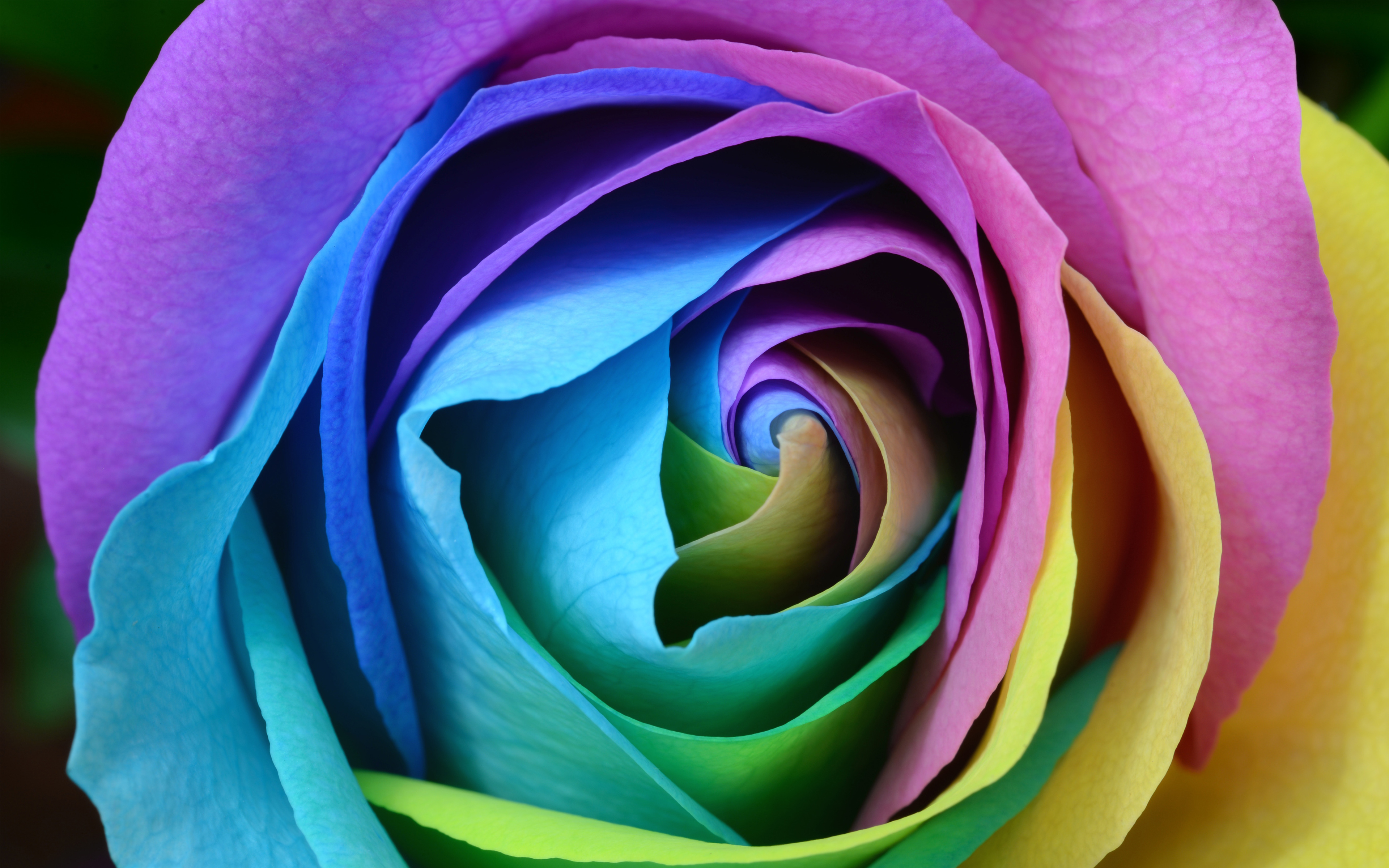 Colorful Rose 4K