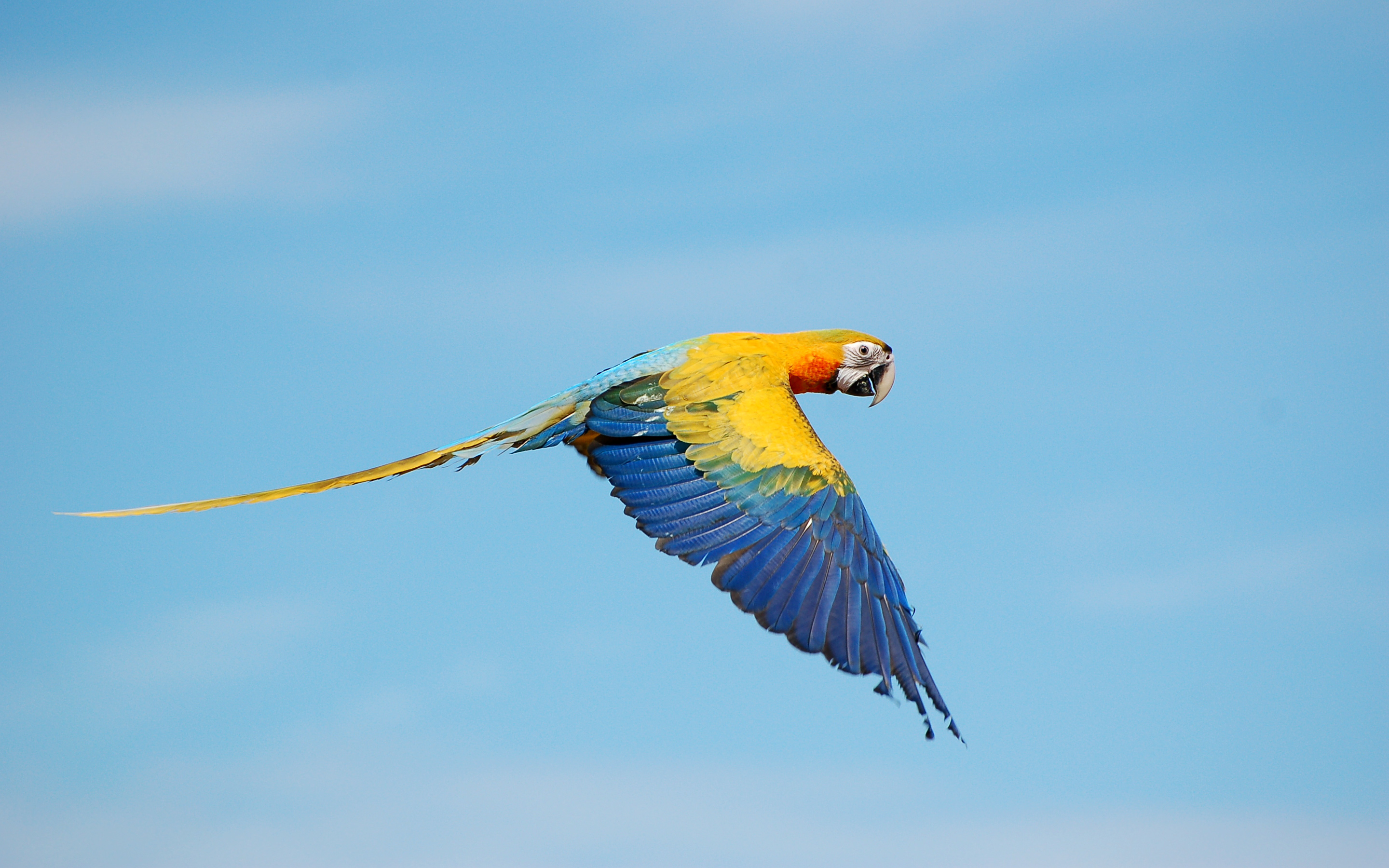 Flying True macaws