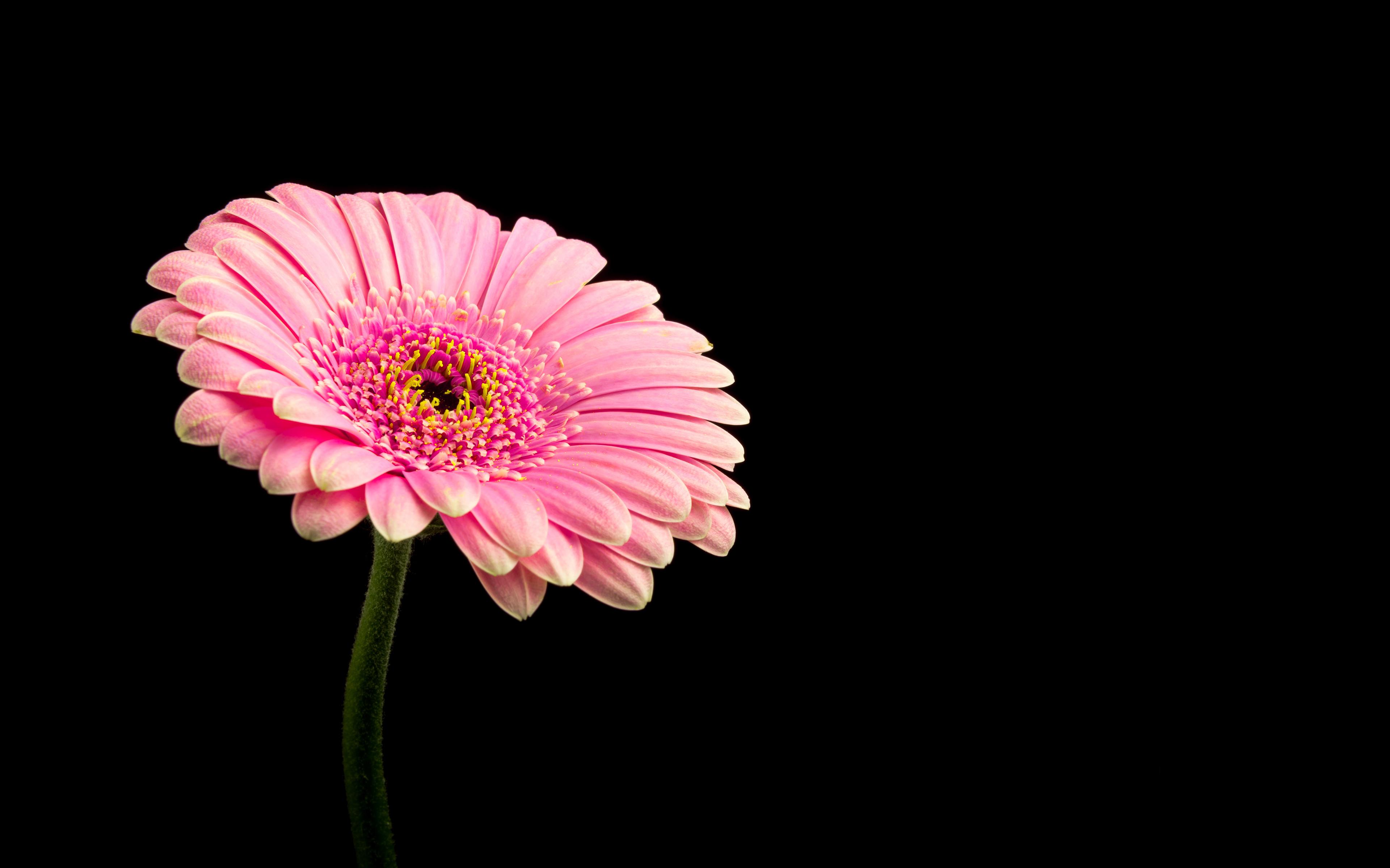 Pink Daisy Flower 4k Wallpaper Download High Resolution 4k Wallpaper