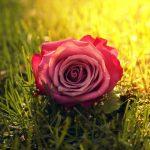 Rose Flower Wallpaper 4k