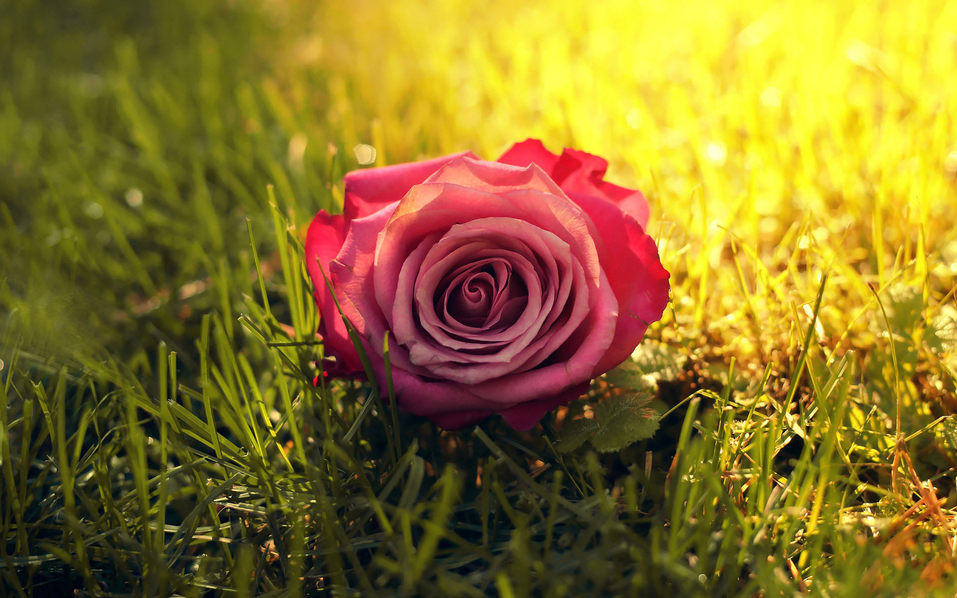 Rose Flower Wallpaper 4k