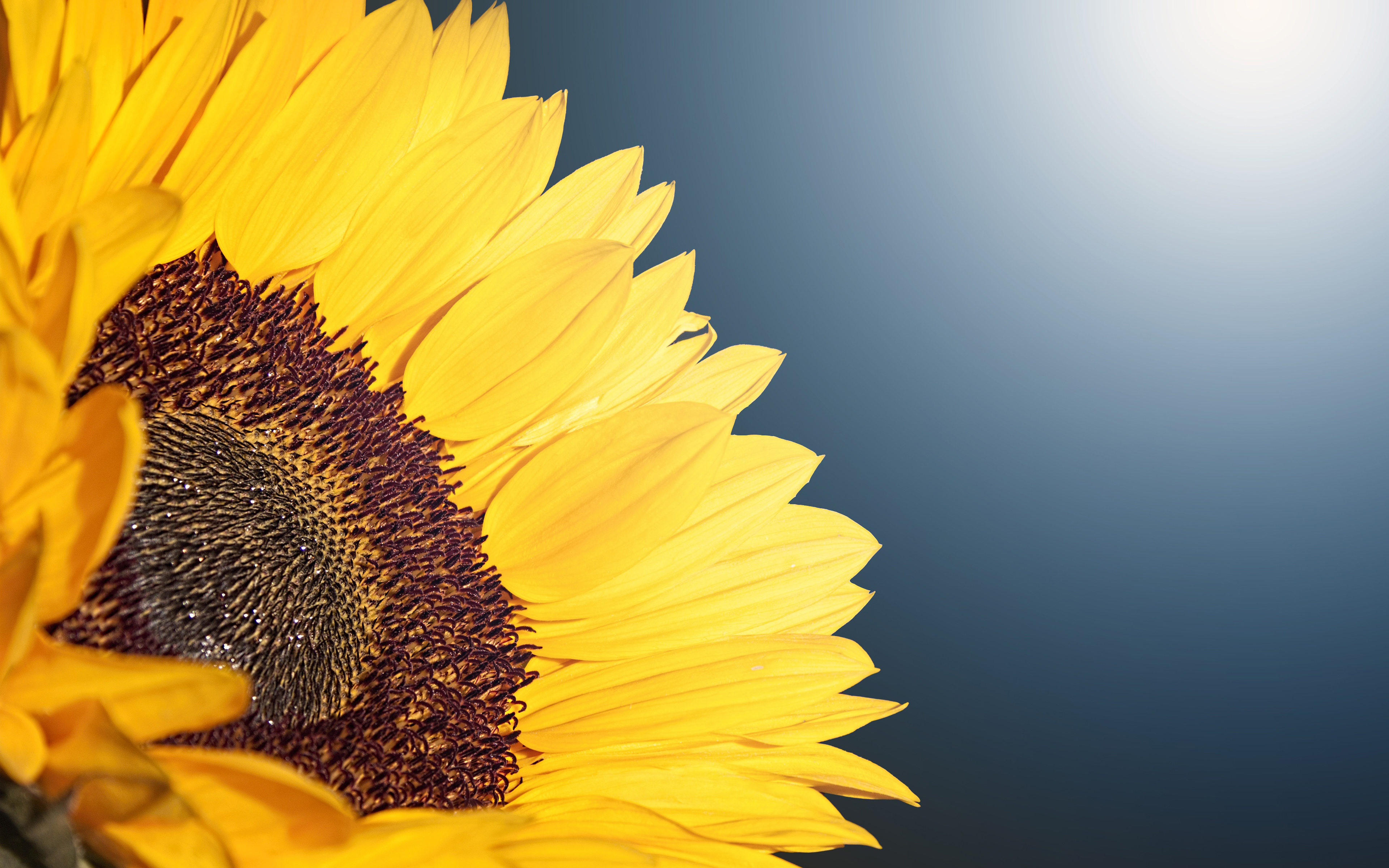 Sunflower 4K