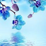 Blue Orchid Flower Wallpaper
