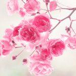 Flower Wallpaper Pink Rose