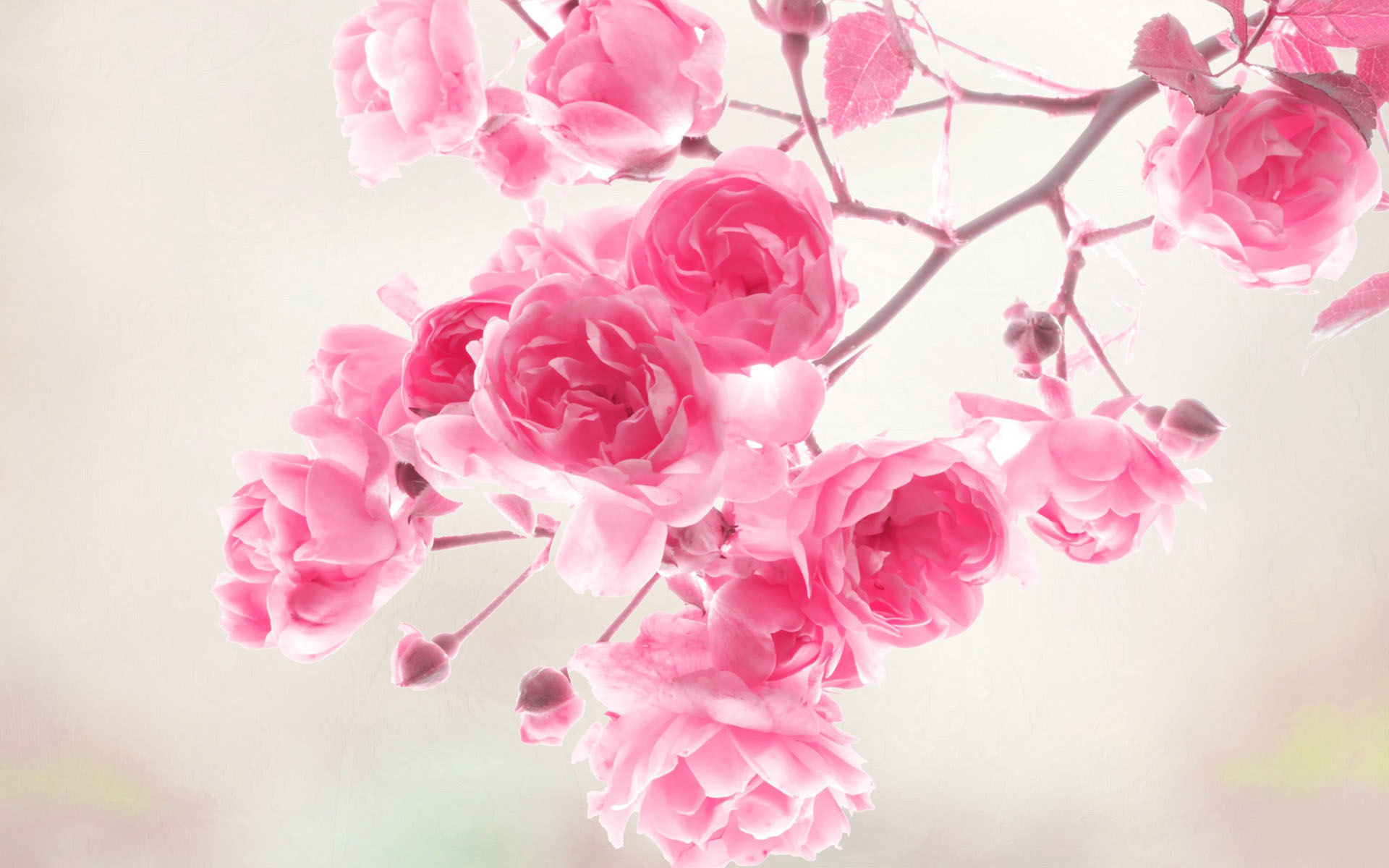 Flower Wallpaper Pink Rose