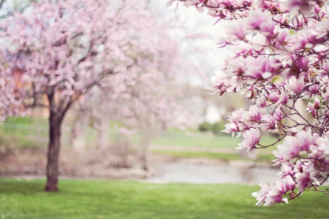 Magnolia Trees Springtime Blossoms Spring Flowers