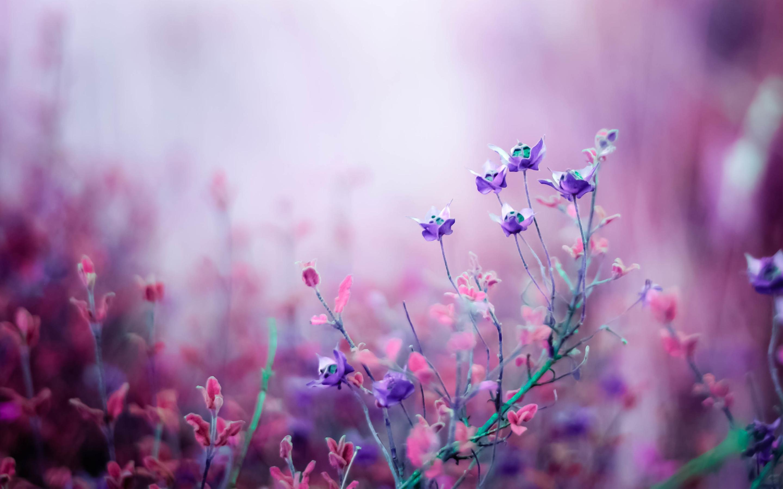 Pink Begonia Flowers Wide