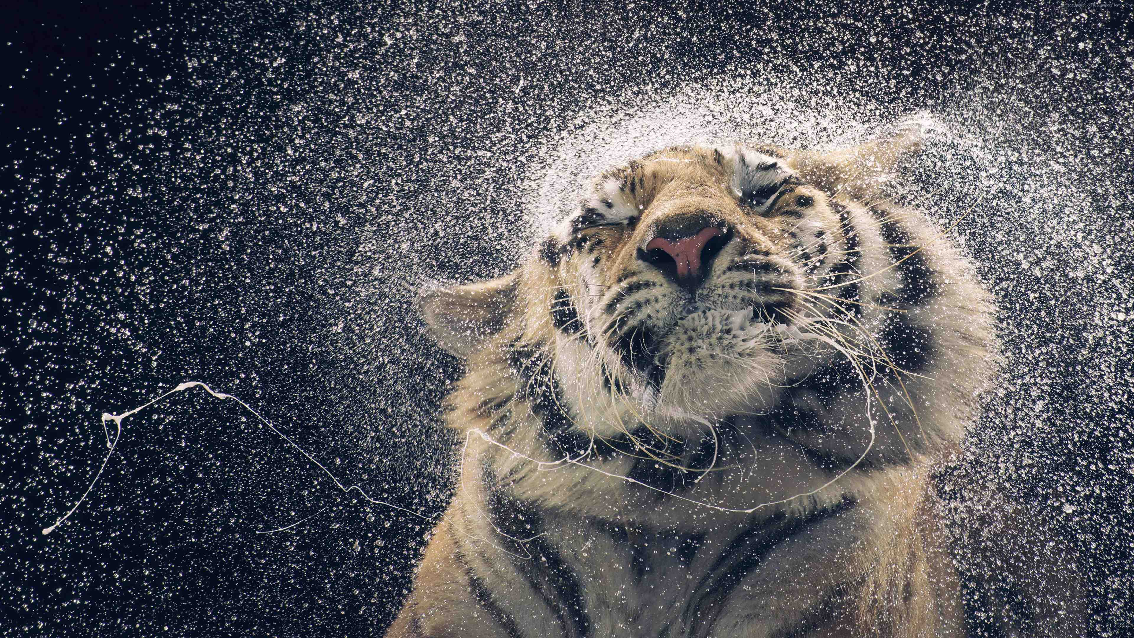 4K Tiger and Water