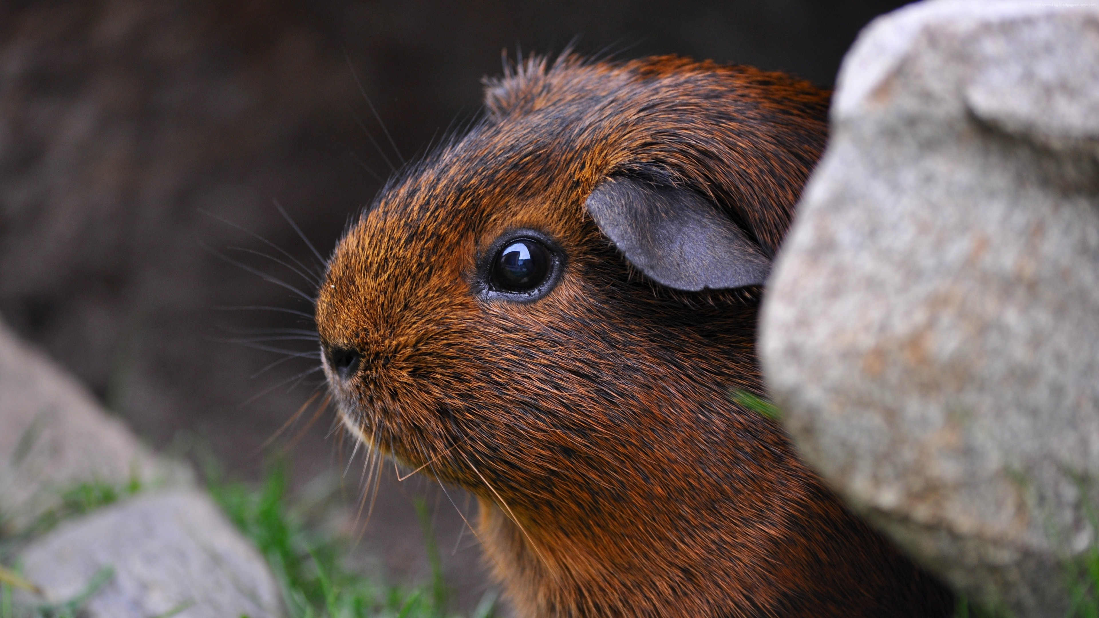 Stock Images Guinea Pig, brown, cute animals, Stock Images