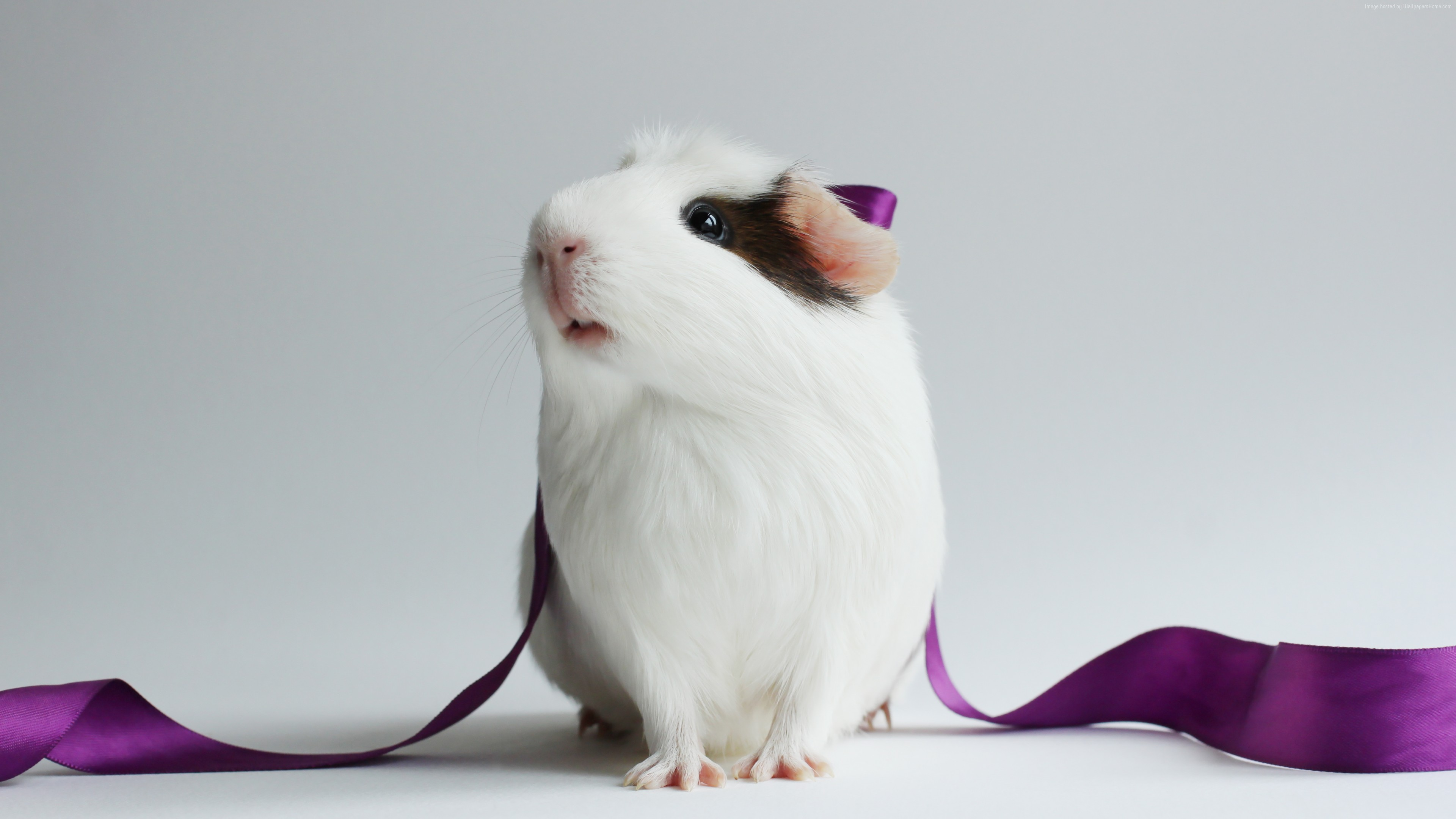 Stock Images Guinea Pig, champion pig, white, Stock Images