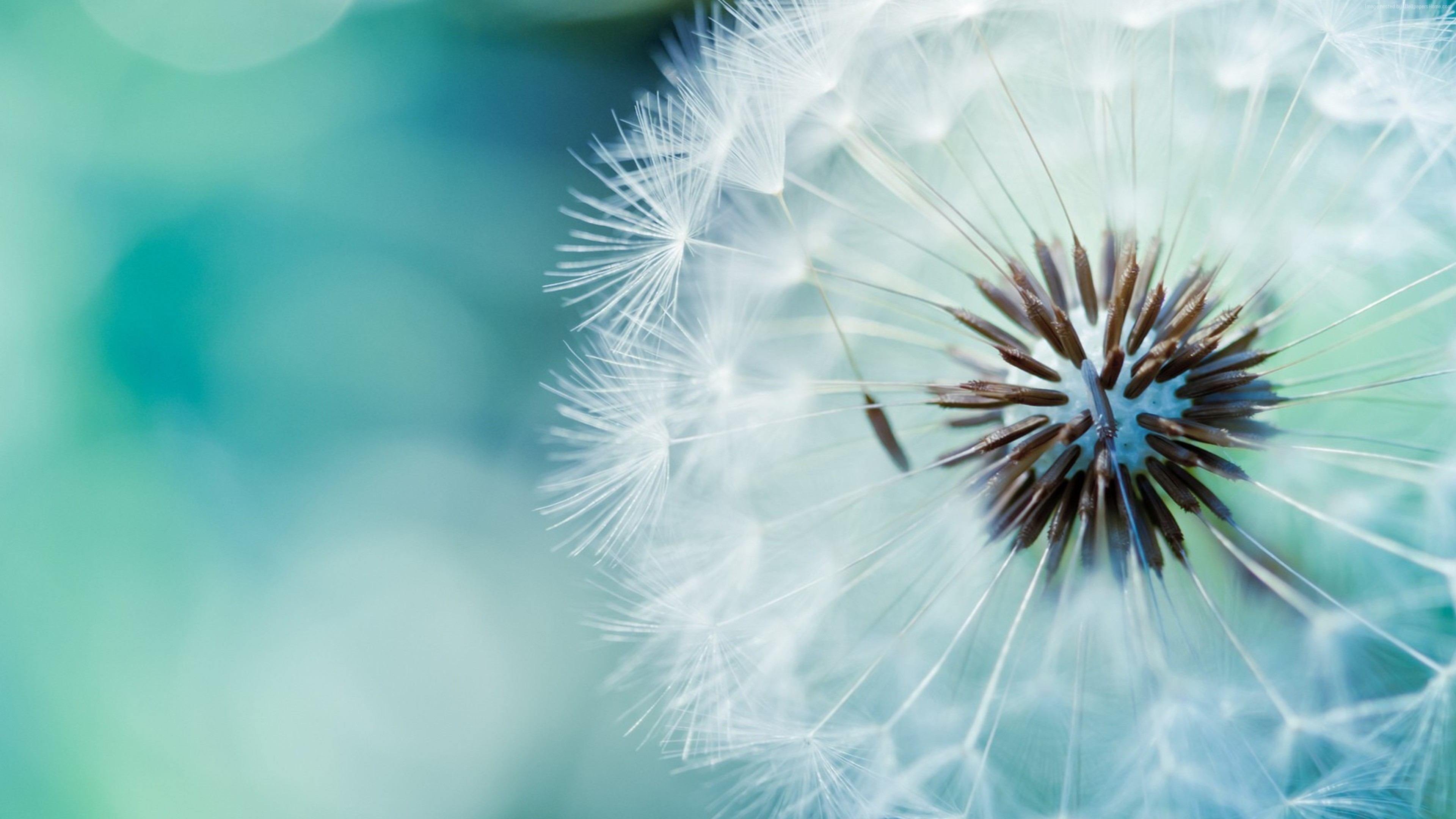 Stock Images dandelion, flower, 4k, Stock Images