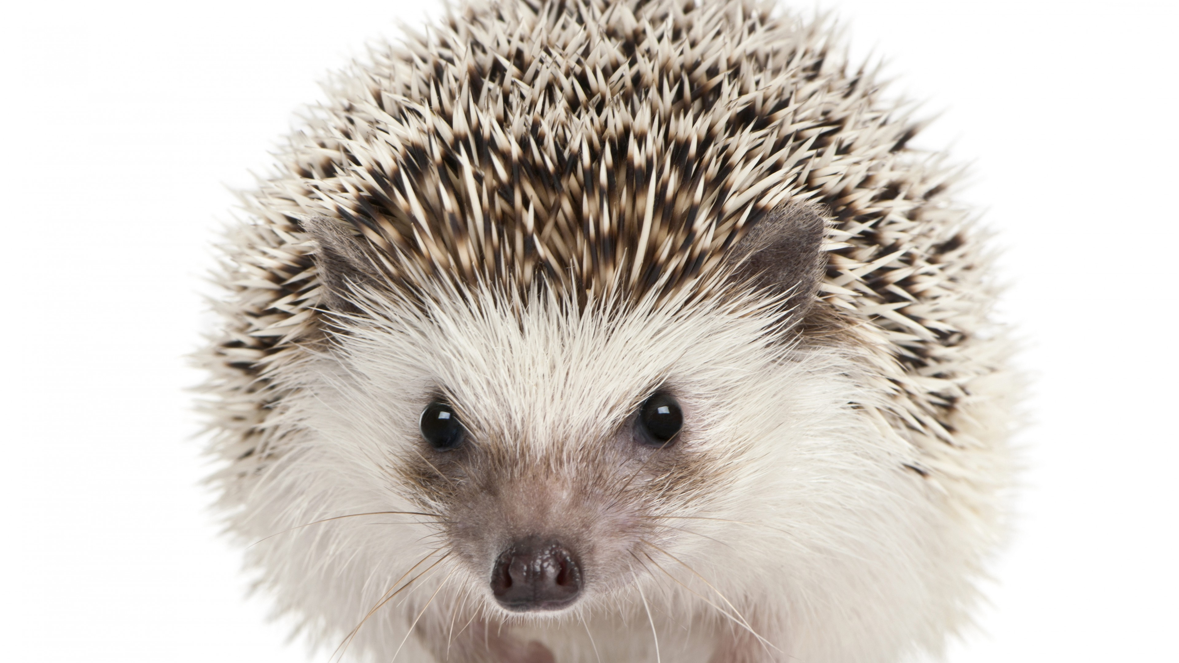 Stock Images hedgehog, cute animals, 5k, Stock Images