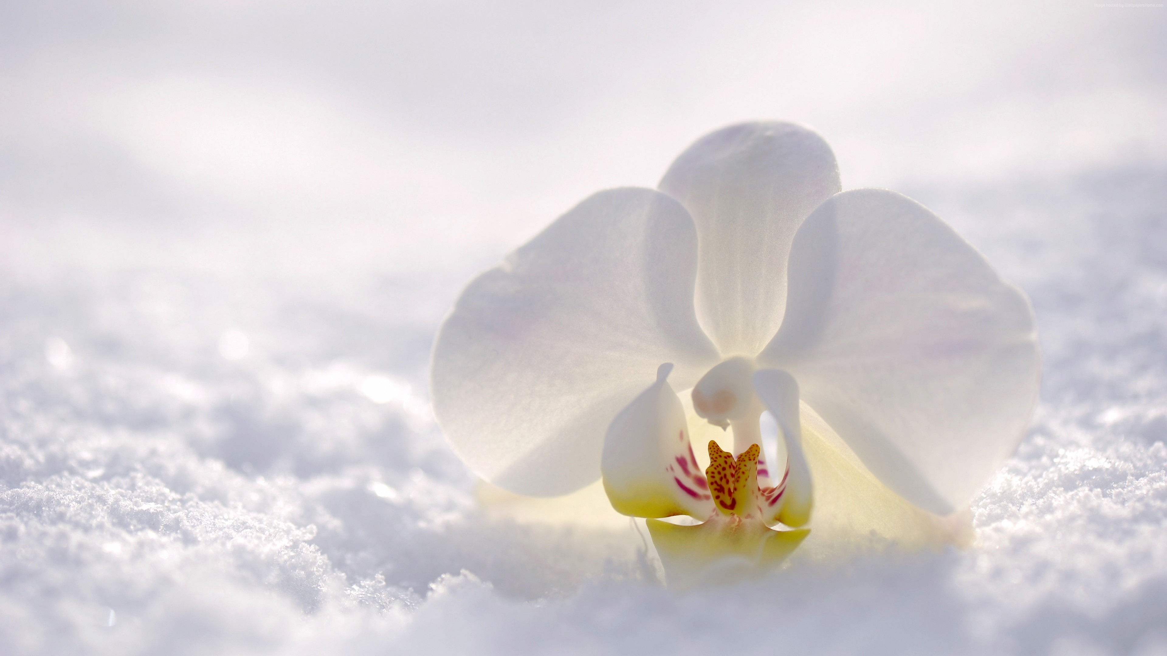 Stock Images orchid, flower, snow, winter, white, 4k, Stock Images