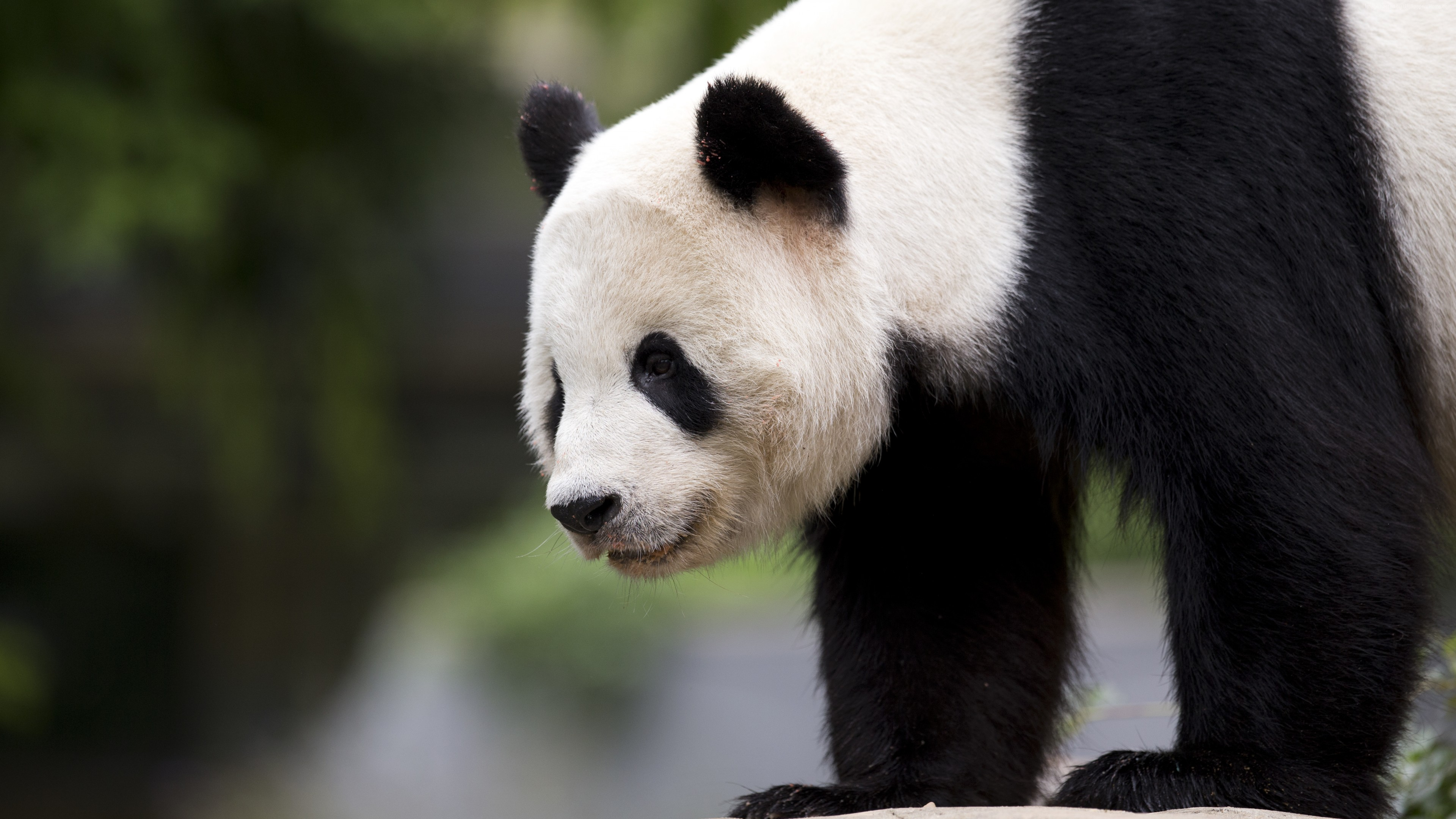 Stock Images panda, cute animals, 6k, Stock Images