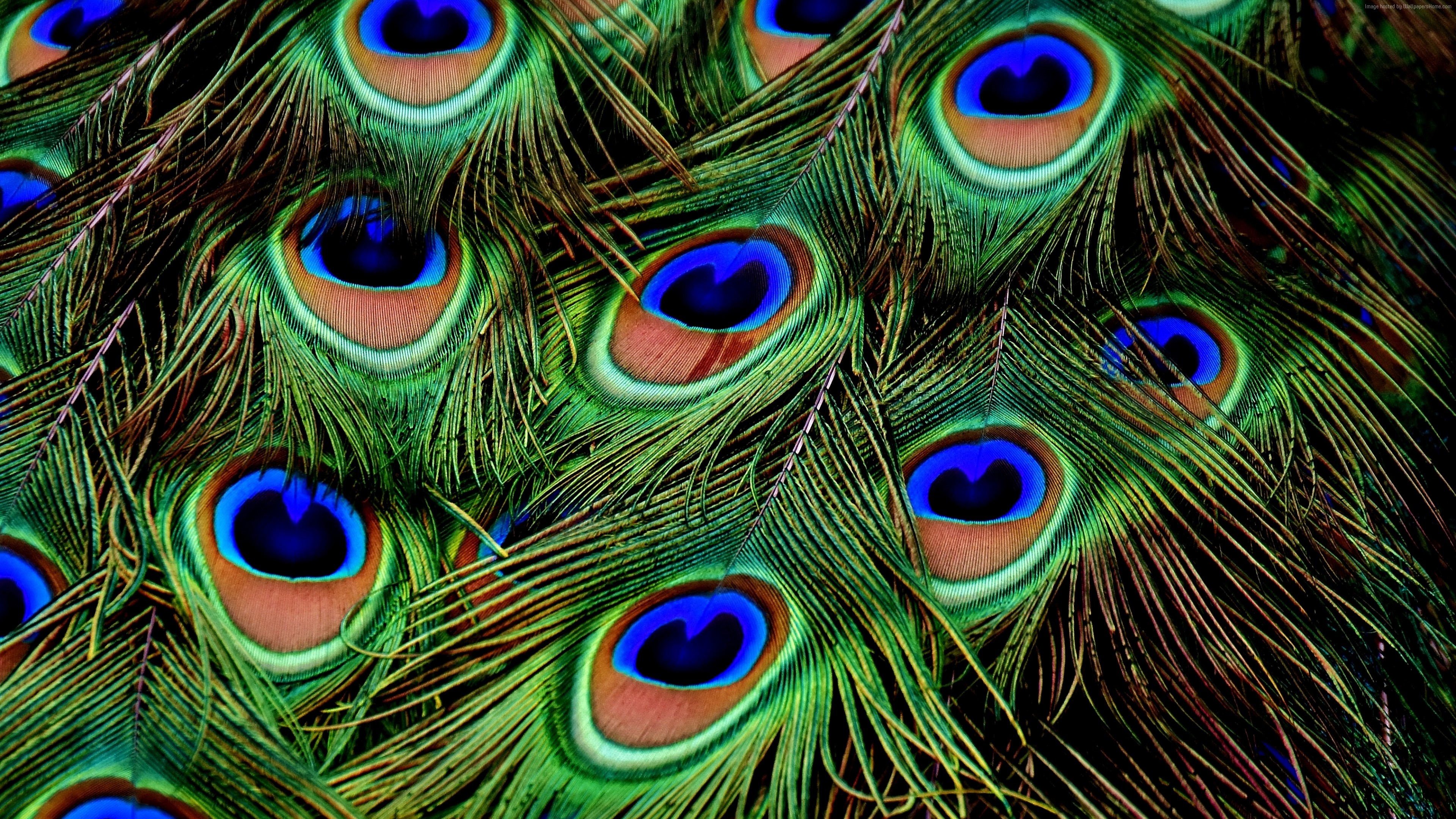 Stock Images peacock, feather, 4k, Stock Images