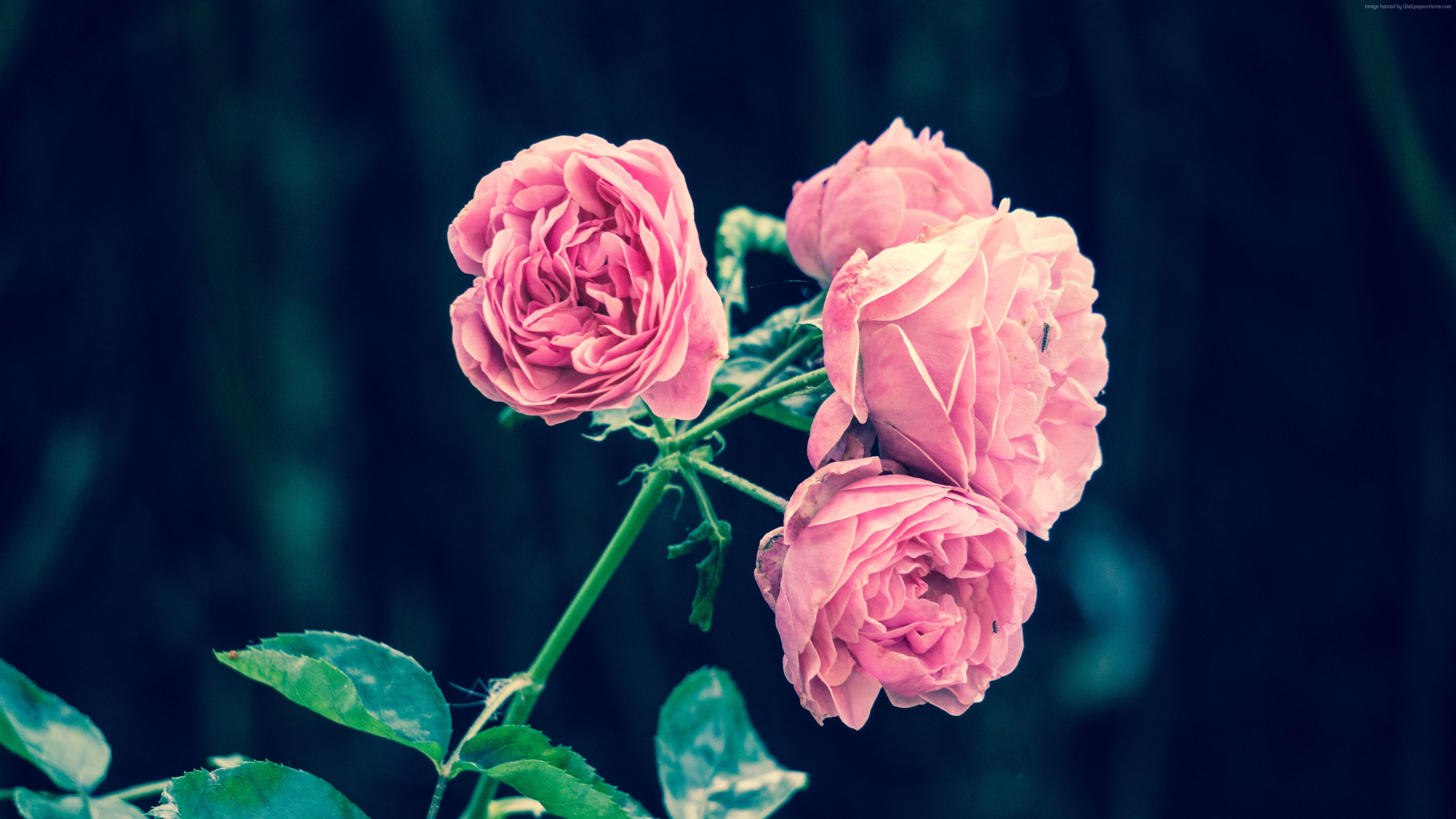 Stock Images rose, flowers, 5k, Stock Images