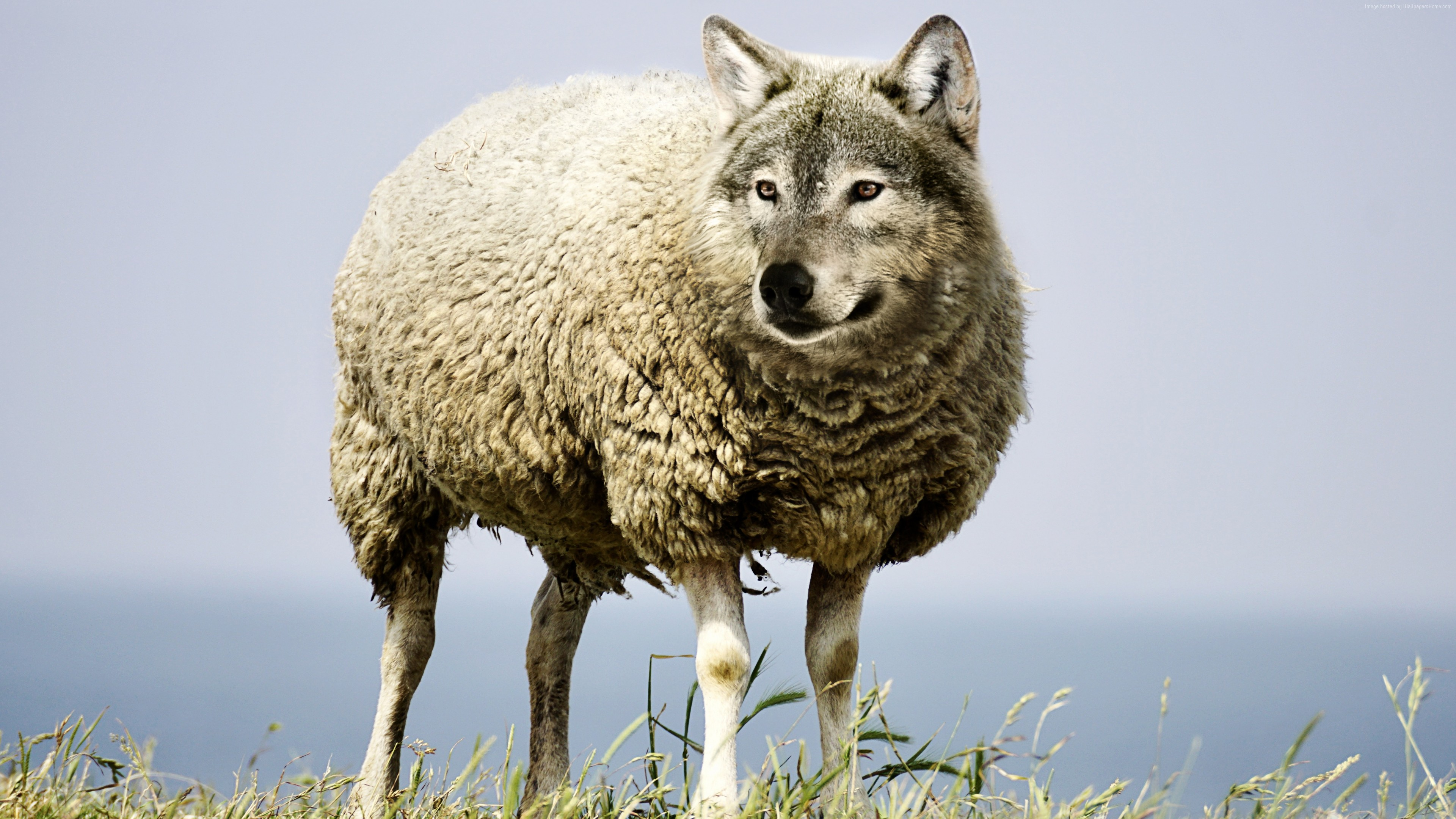 Stock Images wolf in sheep&