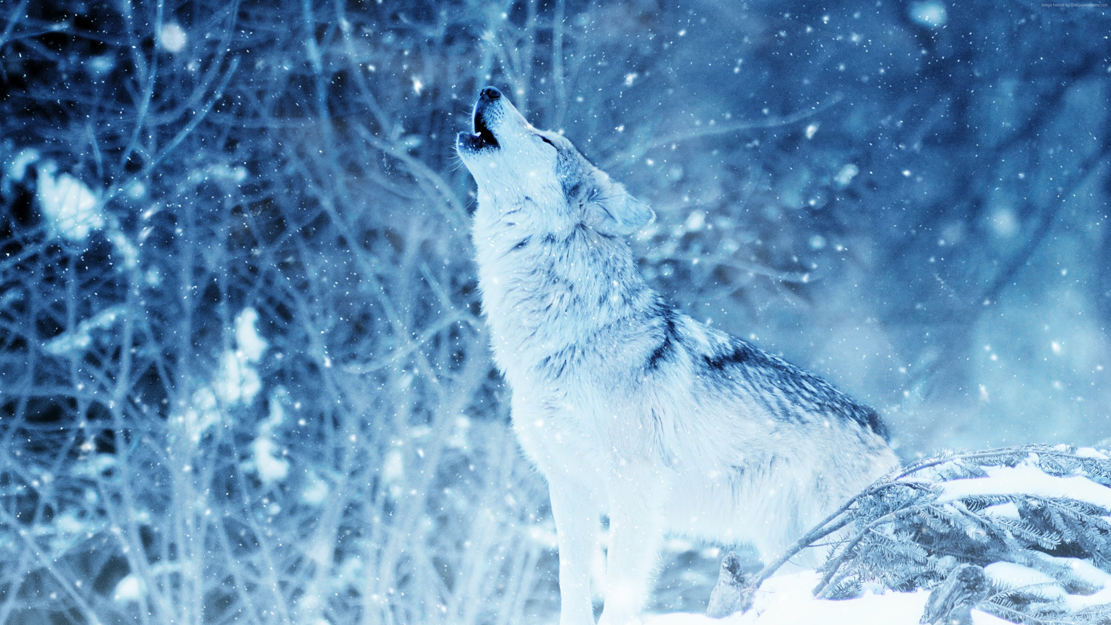 Stock Images Wolf Winter Snow 4k Stock Images Wallpaper Download High Resolution 4k Wallpaper
