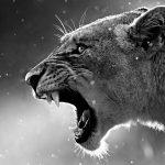 Ultra HD Lion 4K Desktop Images