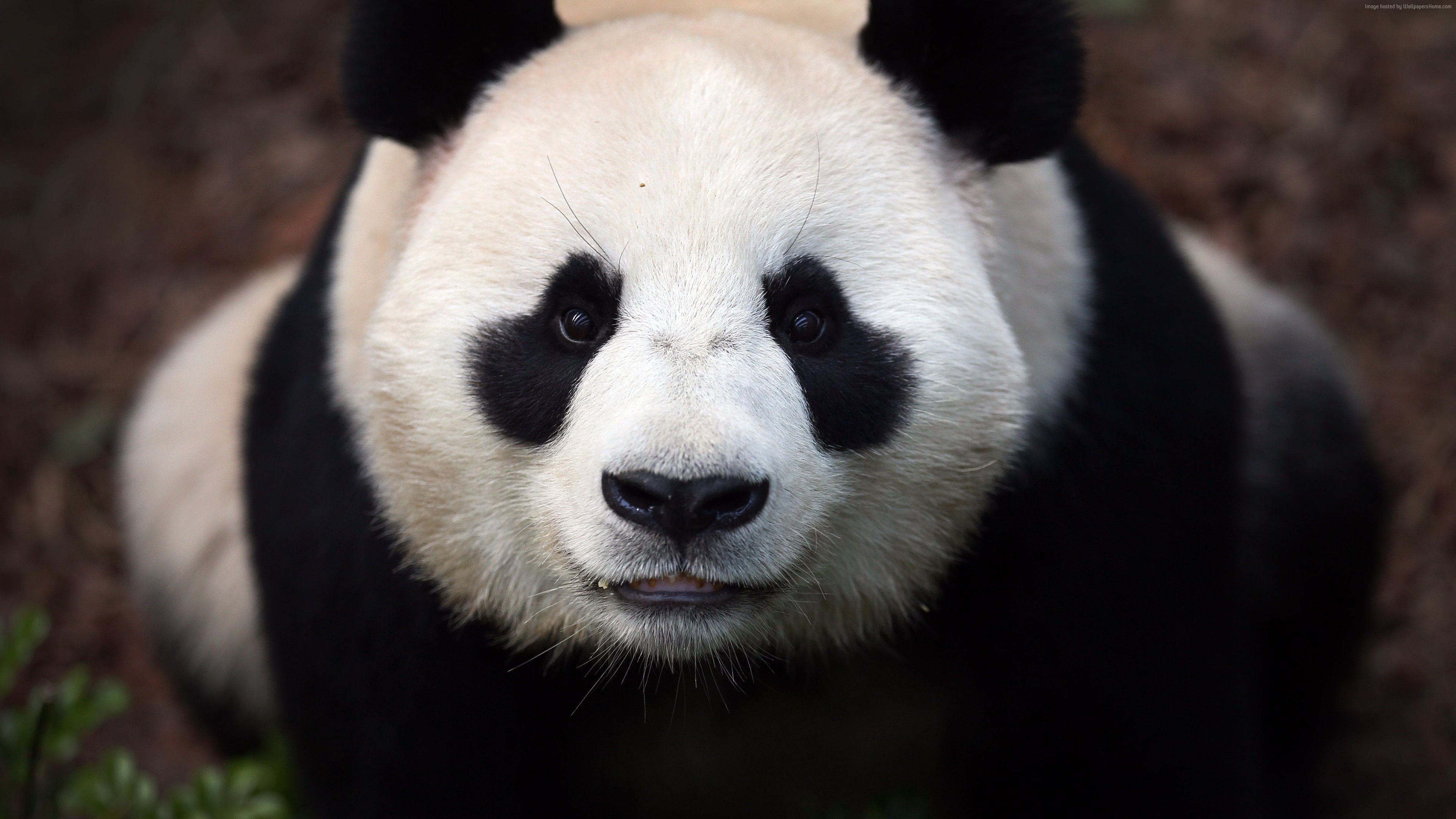 Wallpaper Сhina panda, bears, China, animal, zoo, black, white, eyes, wild, nature, Animals