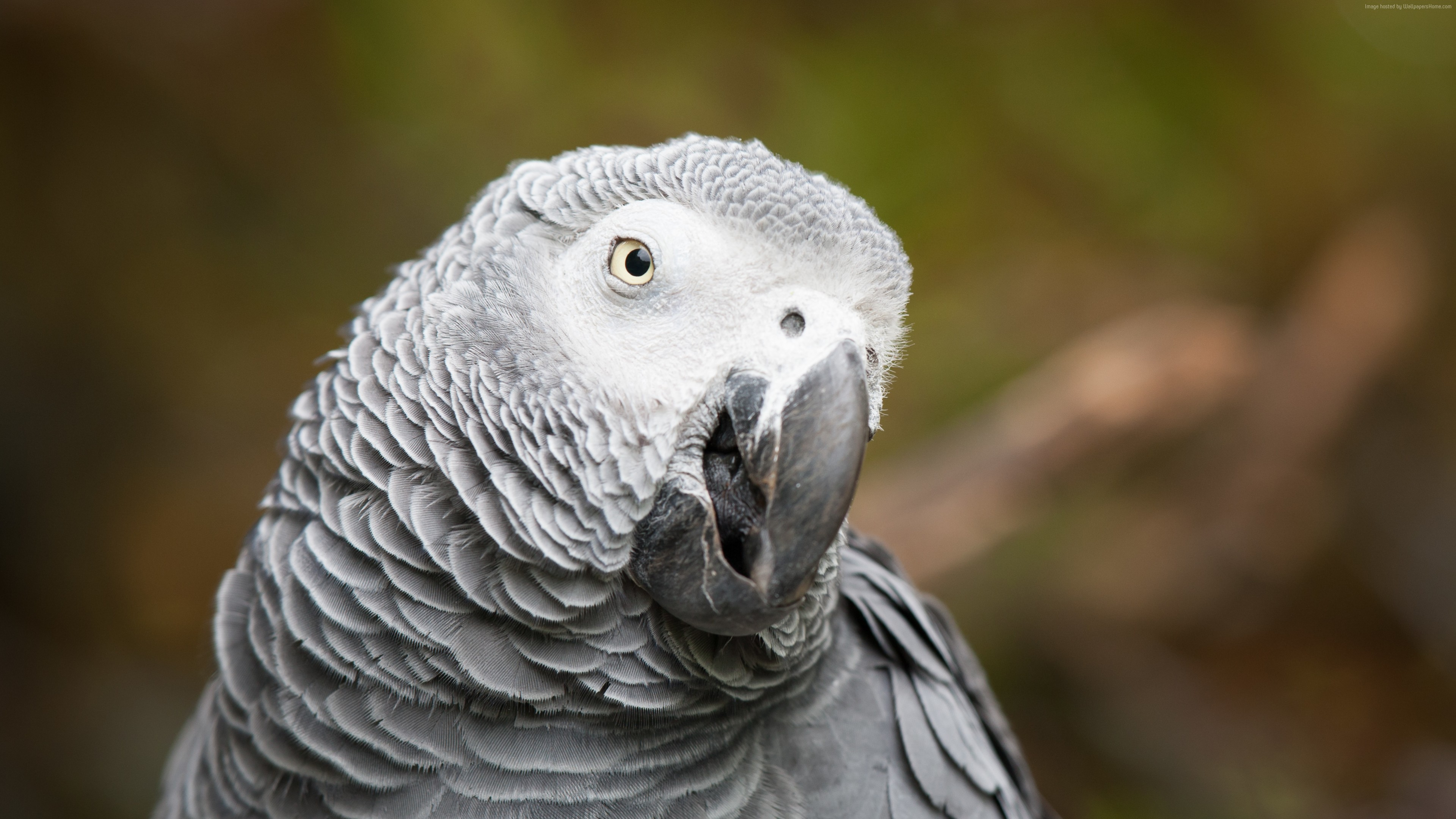 Wallpaper African grey parrot, cute animals, funny, blur, Animals