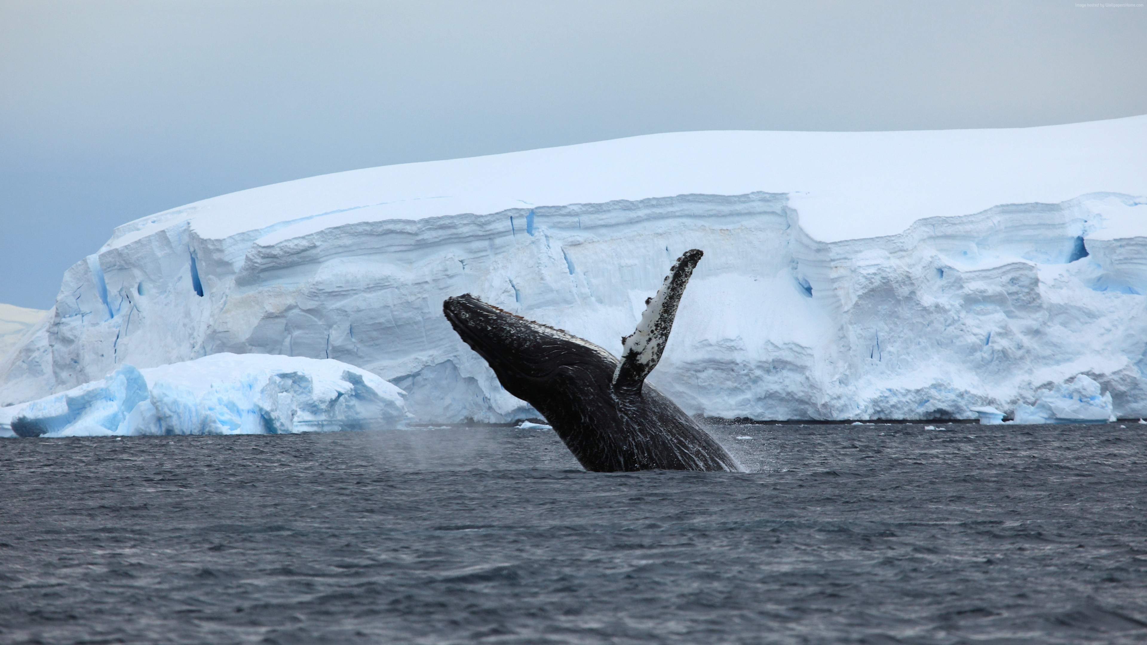 Wallpaper Antarctica, ocean, ice, whale, 4k, Nature