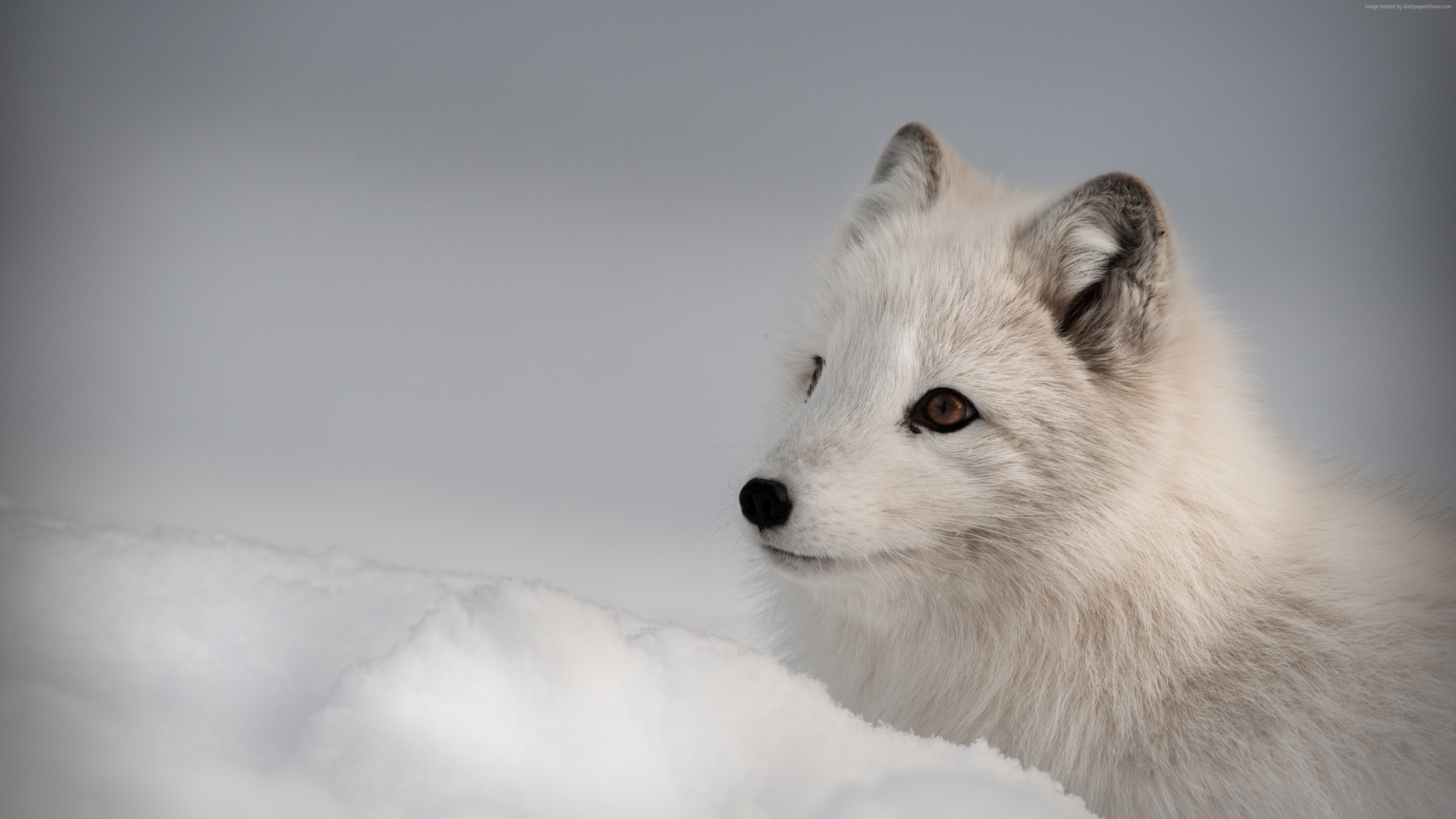 Wallpaper Arctic fox, Northern Hemisphere, animal, Animals