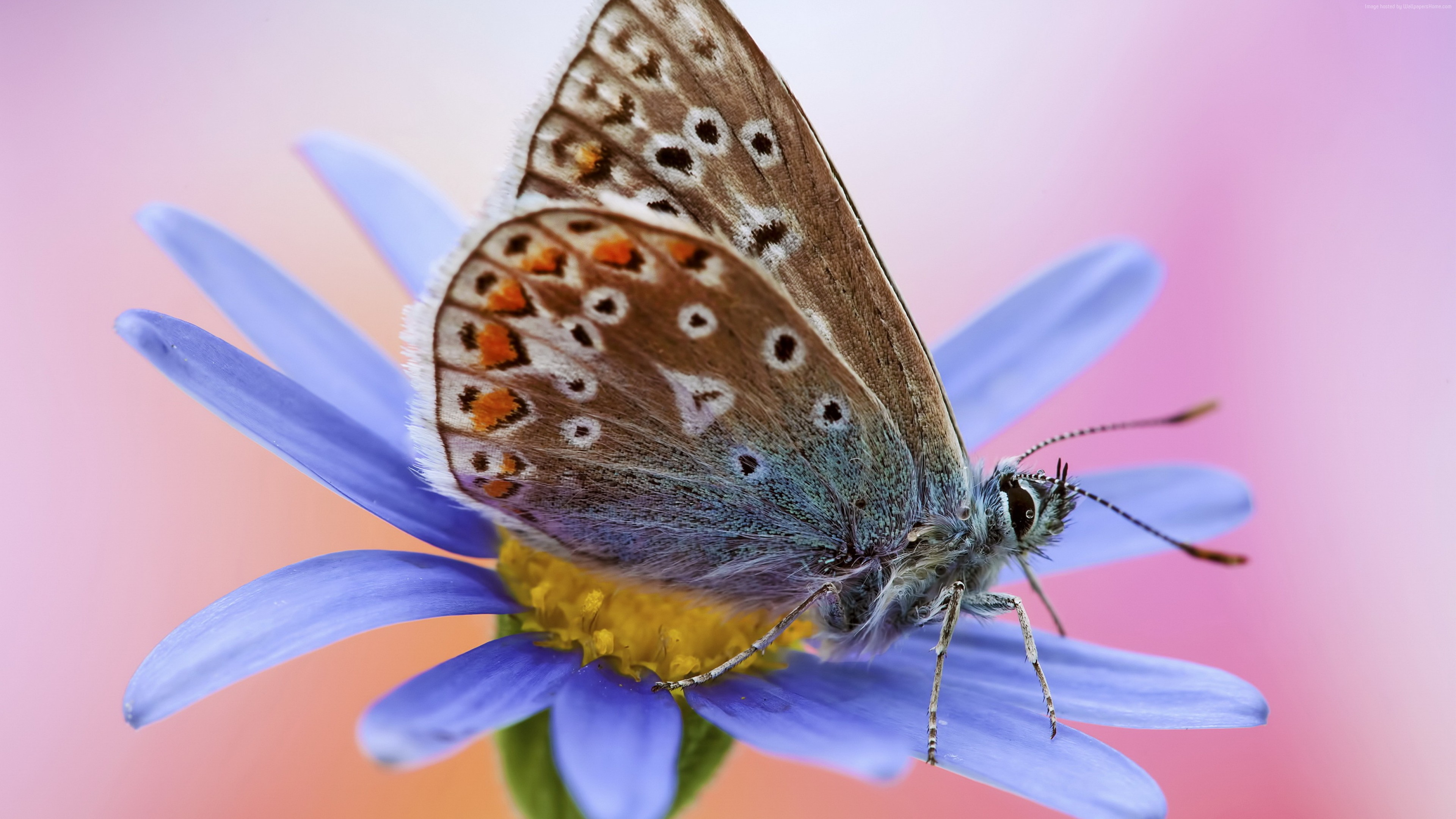 Wallpaper Artemis, butterfly, macro, flower, Animals