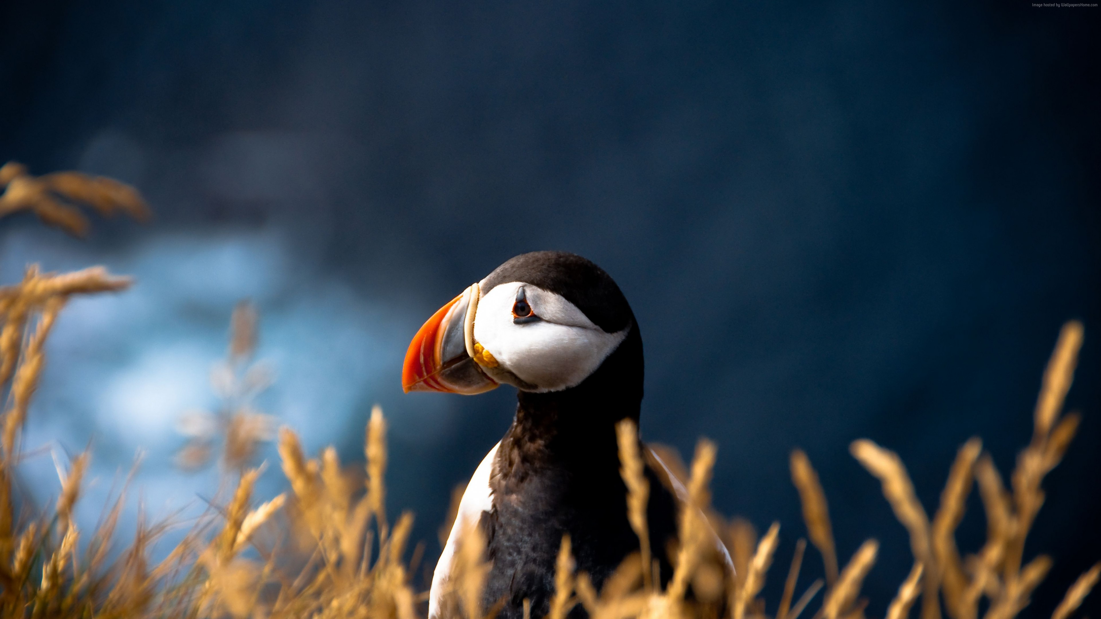 Wallpaper Atlantic puffin, 5k, 4k wallpaper, Atlantic Ocean, British Isles, bird, colorful, nature, animal, Animals