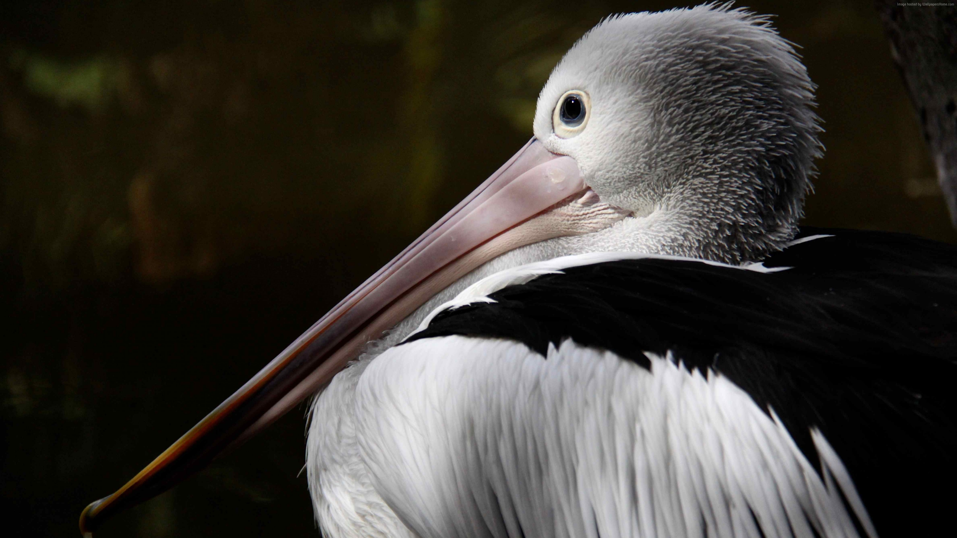 Wallpaper Australian pelican, New Guinea, close-up, white, gray, bird, animal, nature, tourism, Animals