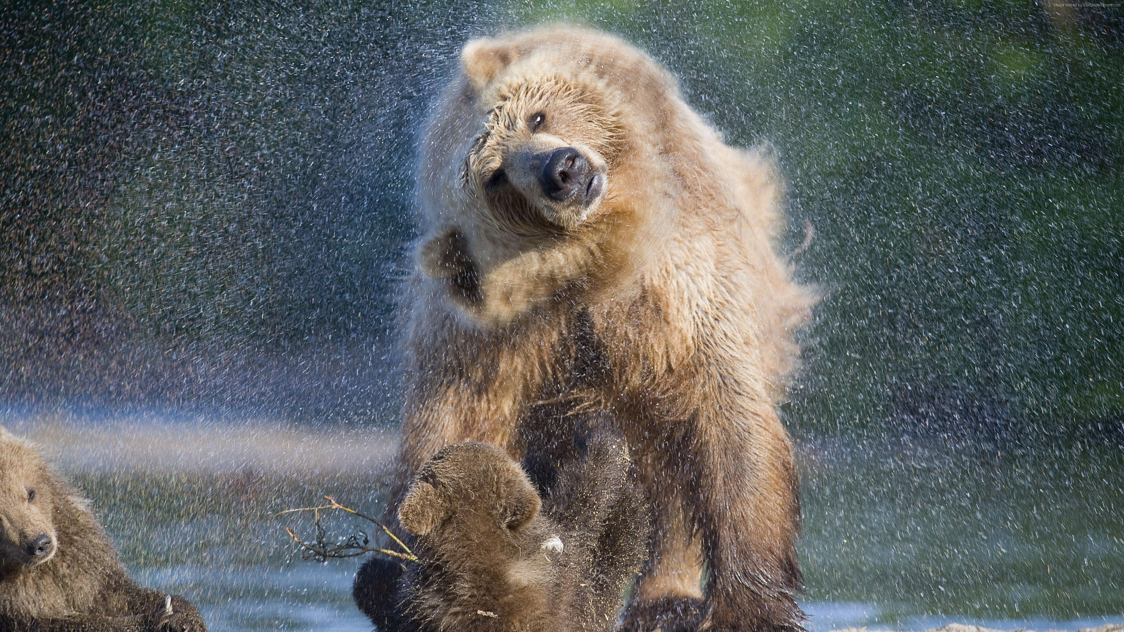 Wallpaper Bears, water, wash, National Geographics, Animals