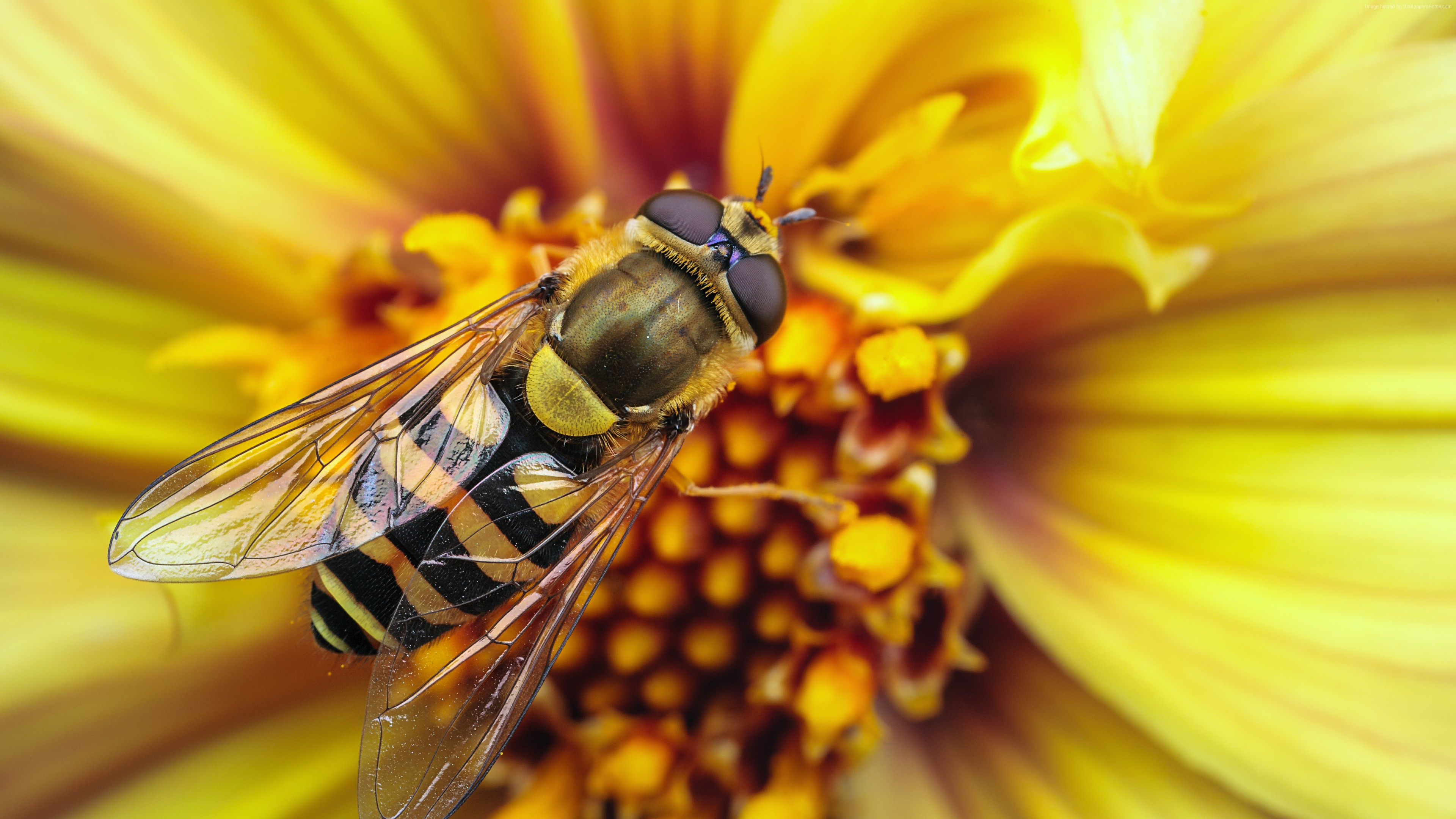 Wallpaper Bee, wasp, flower, yellow, wings, macro, stripes, insects, Animals