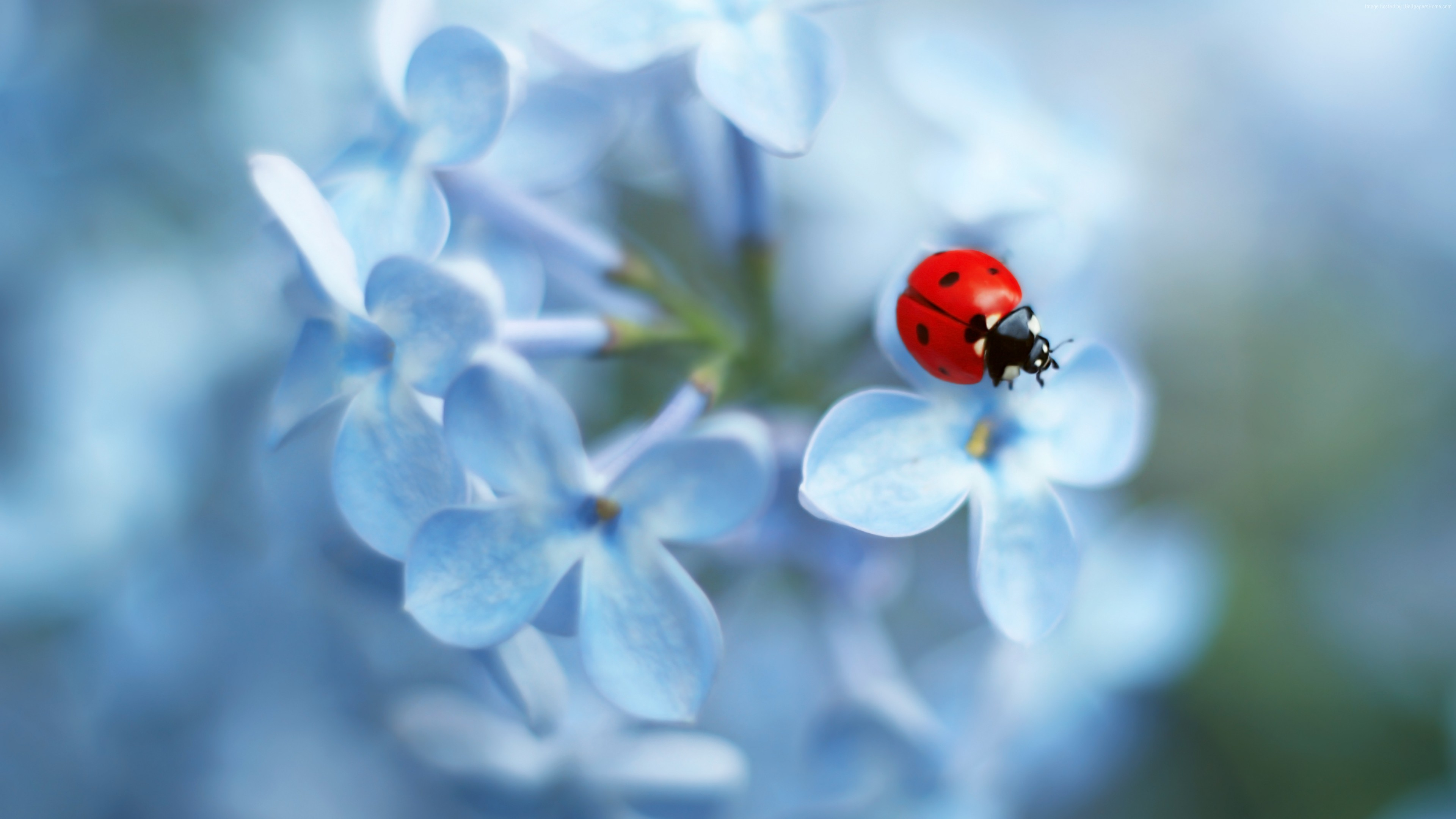 Wallpaper Blue Flower, Insect, Ladybug, 4K, Animals