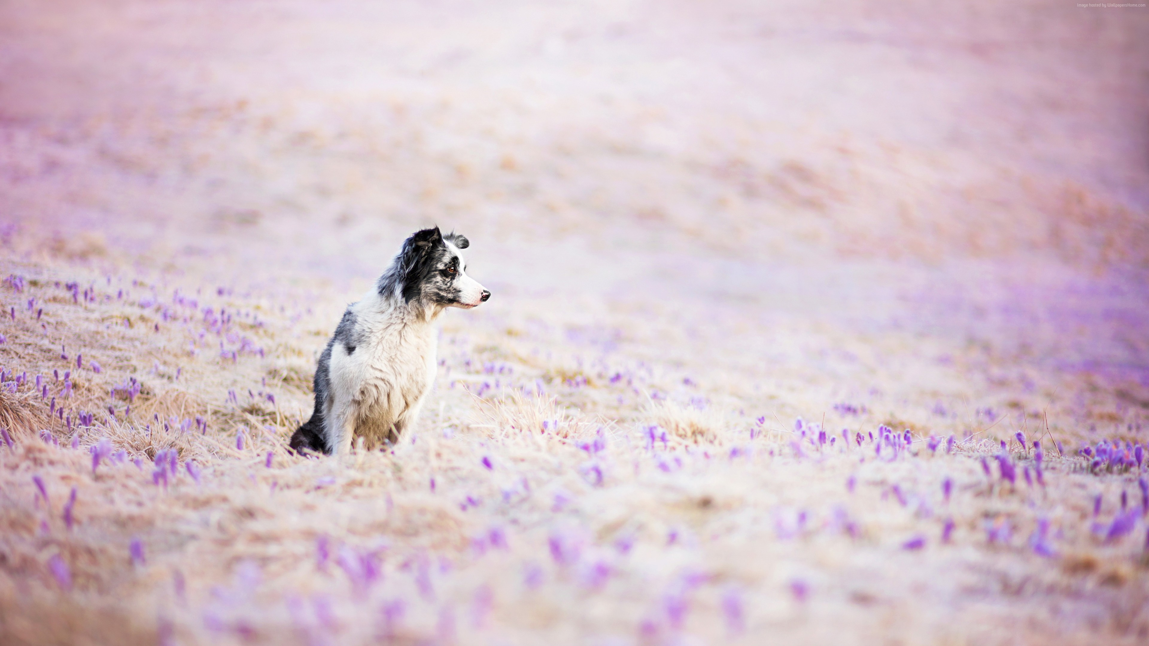 Wallpaper Border Collie, dog, field, cute animals, funny, Animals