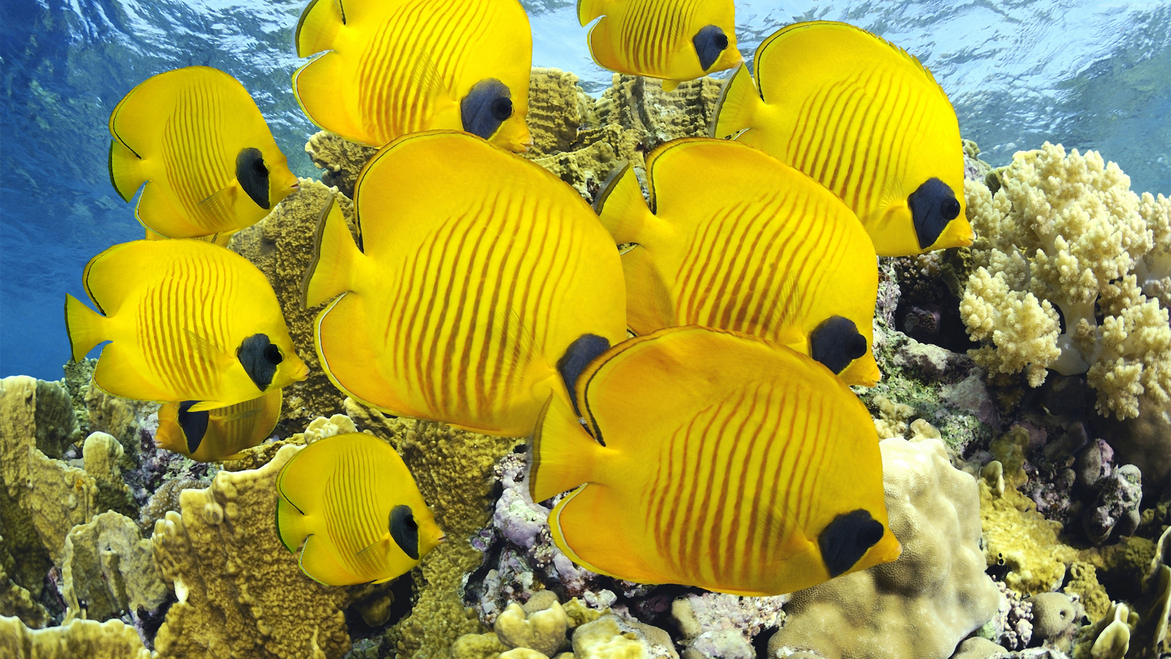Wallpaper Butterflyfish, underwater, coral, Best Diving Sites, Travel