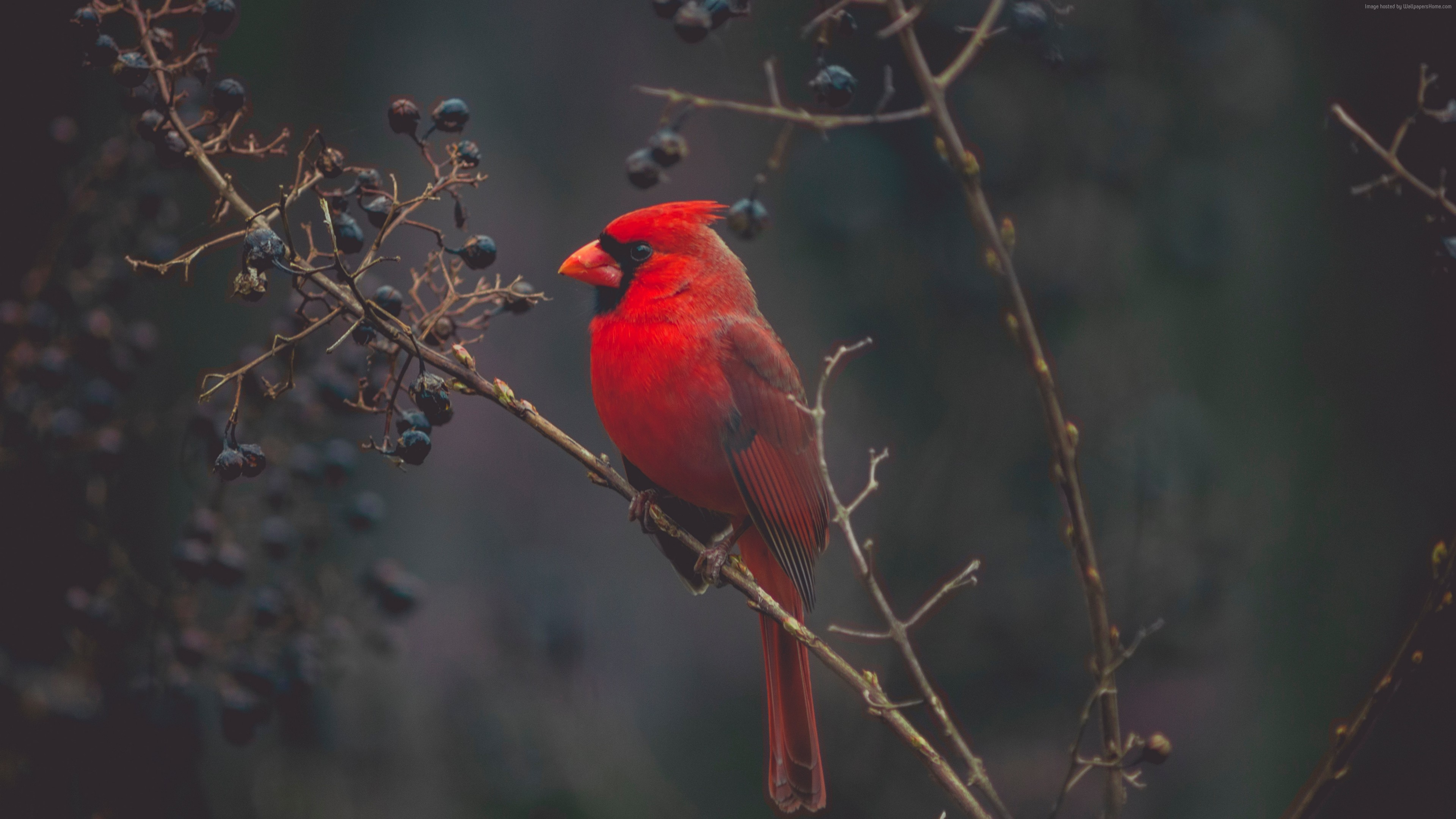 Wallpaper Cardinal, Red bird, bird, 4K, Animals