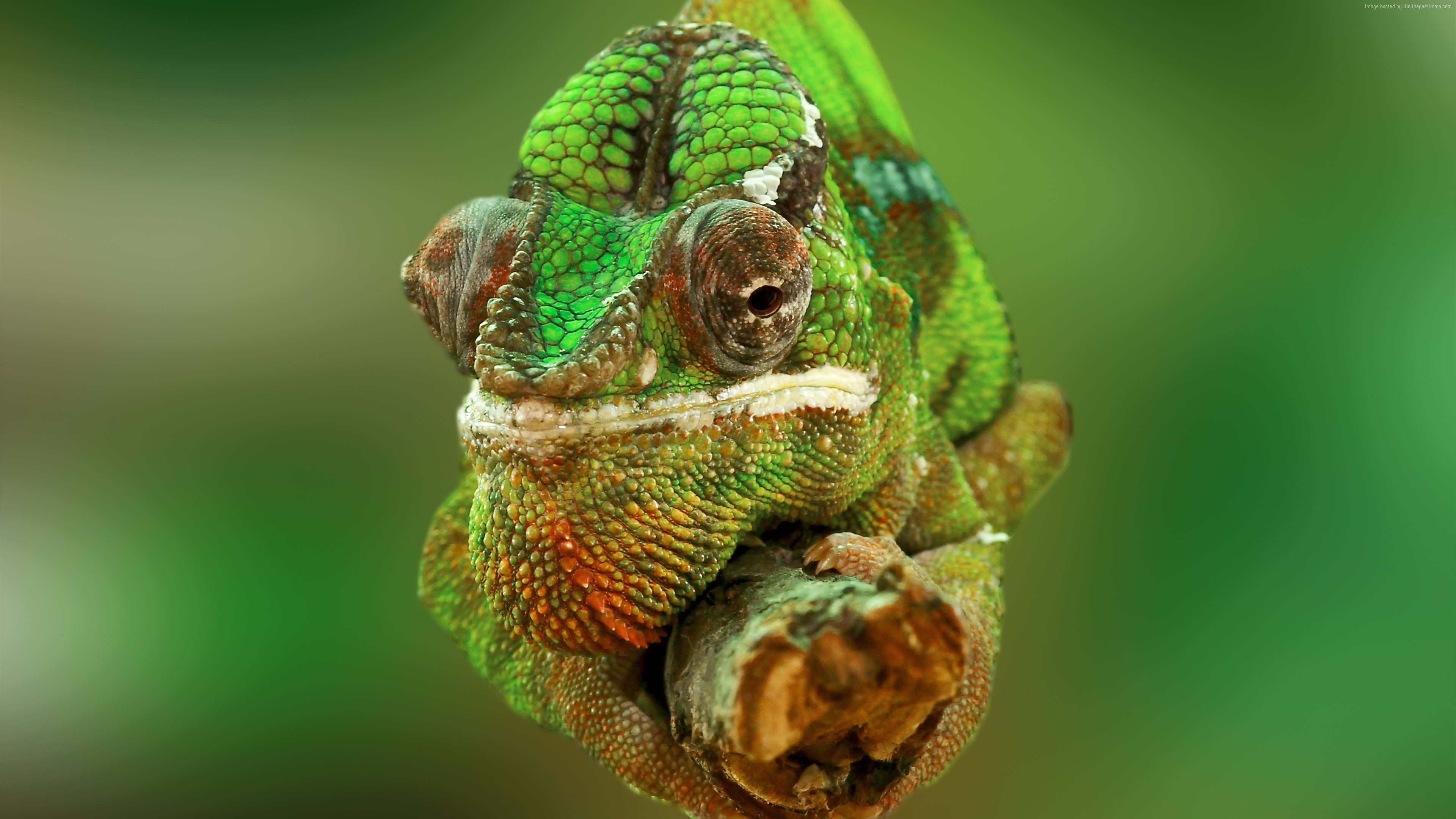 Wallpaper Chameleon, color change, lizard, Veiled chameleon, Panther chameleon, Jackson&