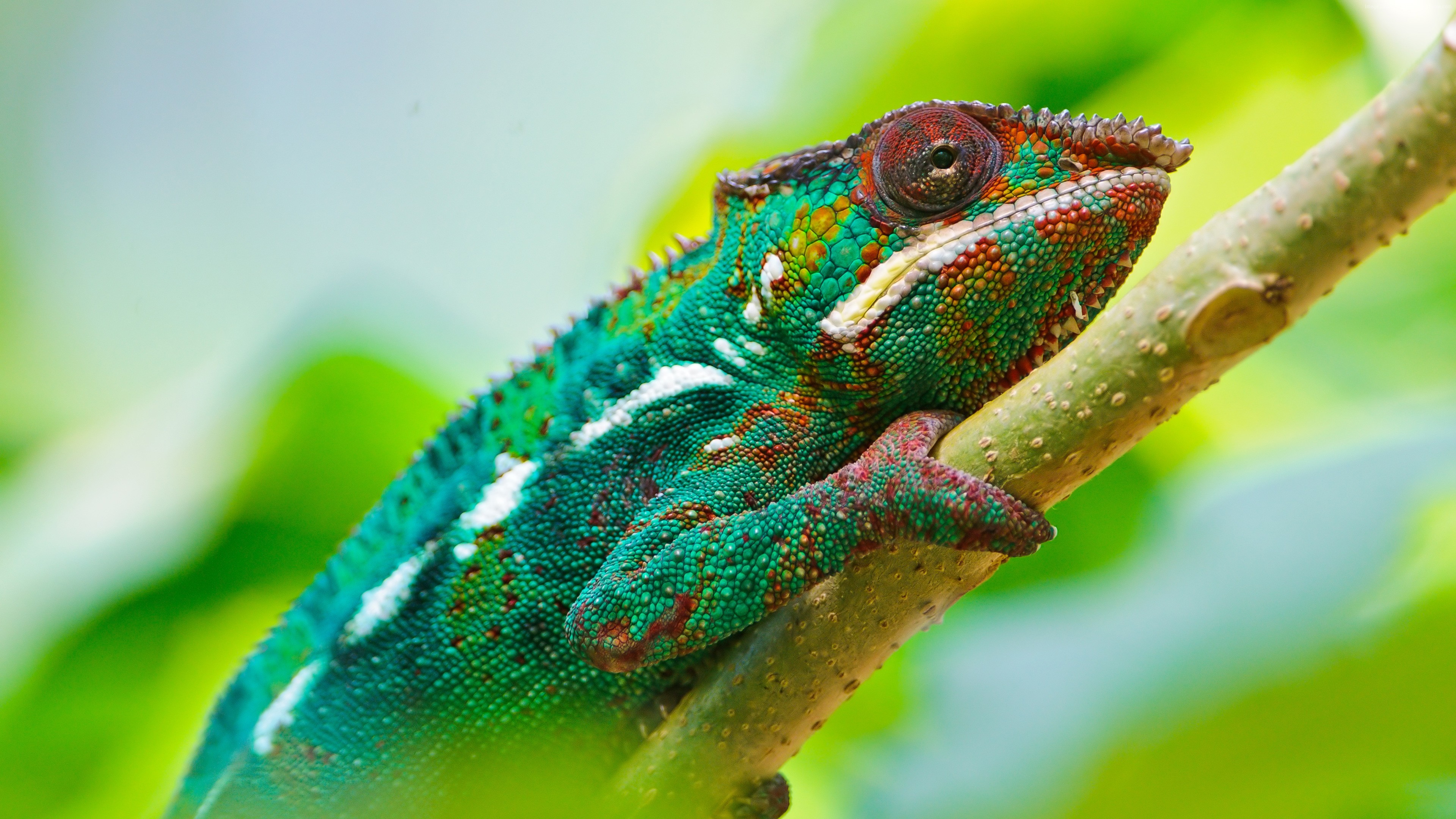 Wallpaper Chameleon, look, Colorful, Animals