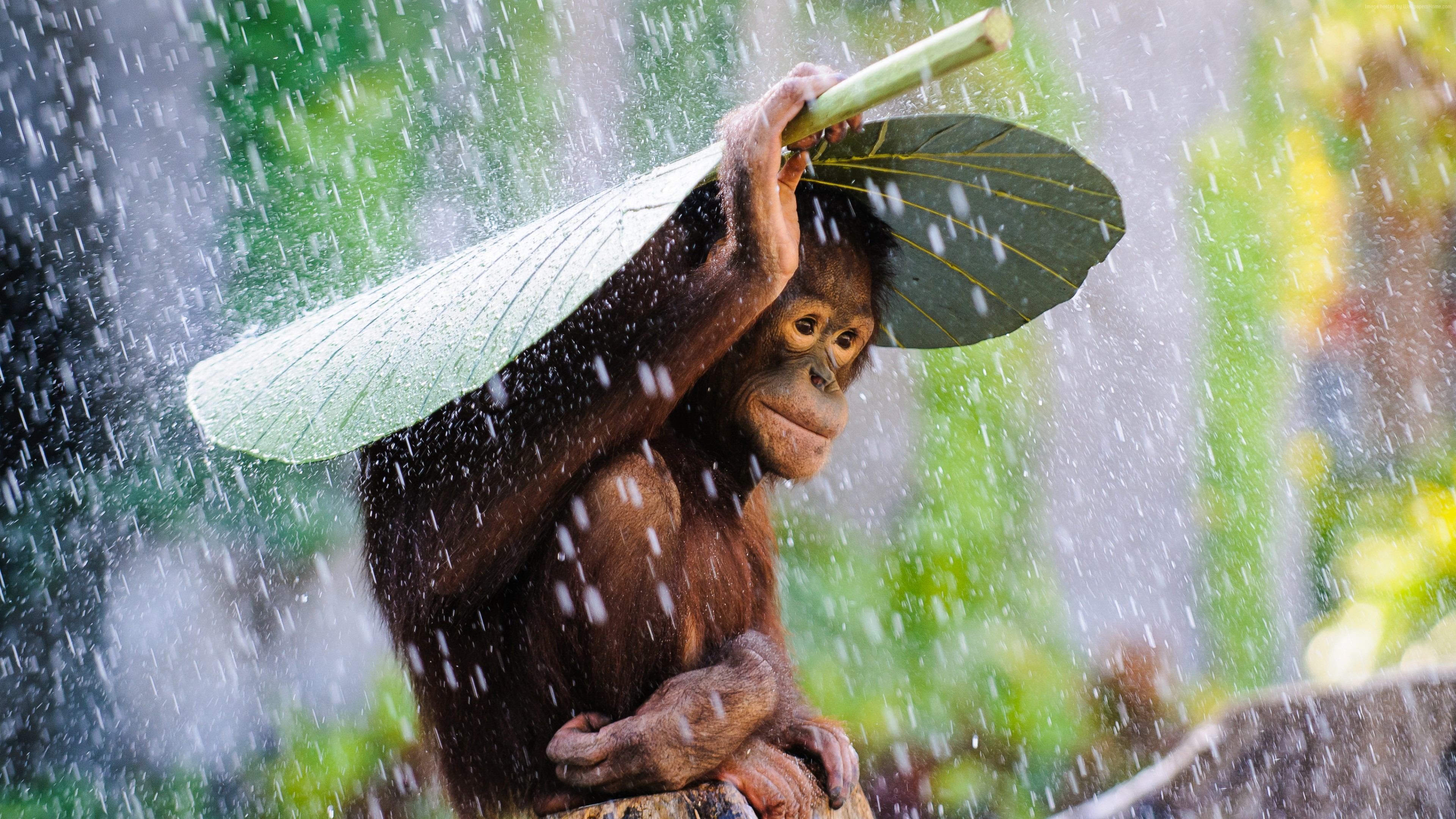 Wallpaper Chimpanzee, Congo River, tourism, banana, leaves, rain, monkey, nature, animal, green, Animals