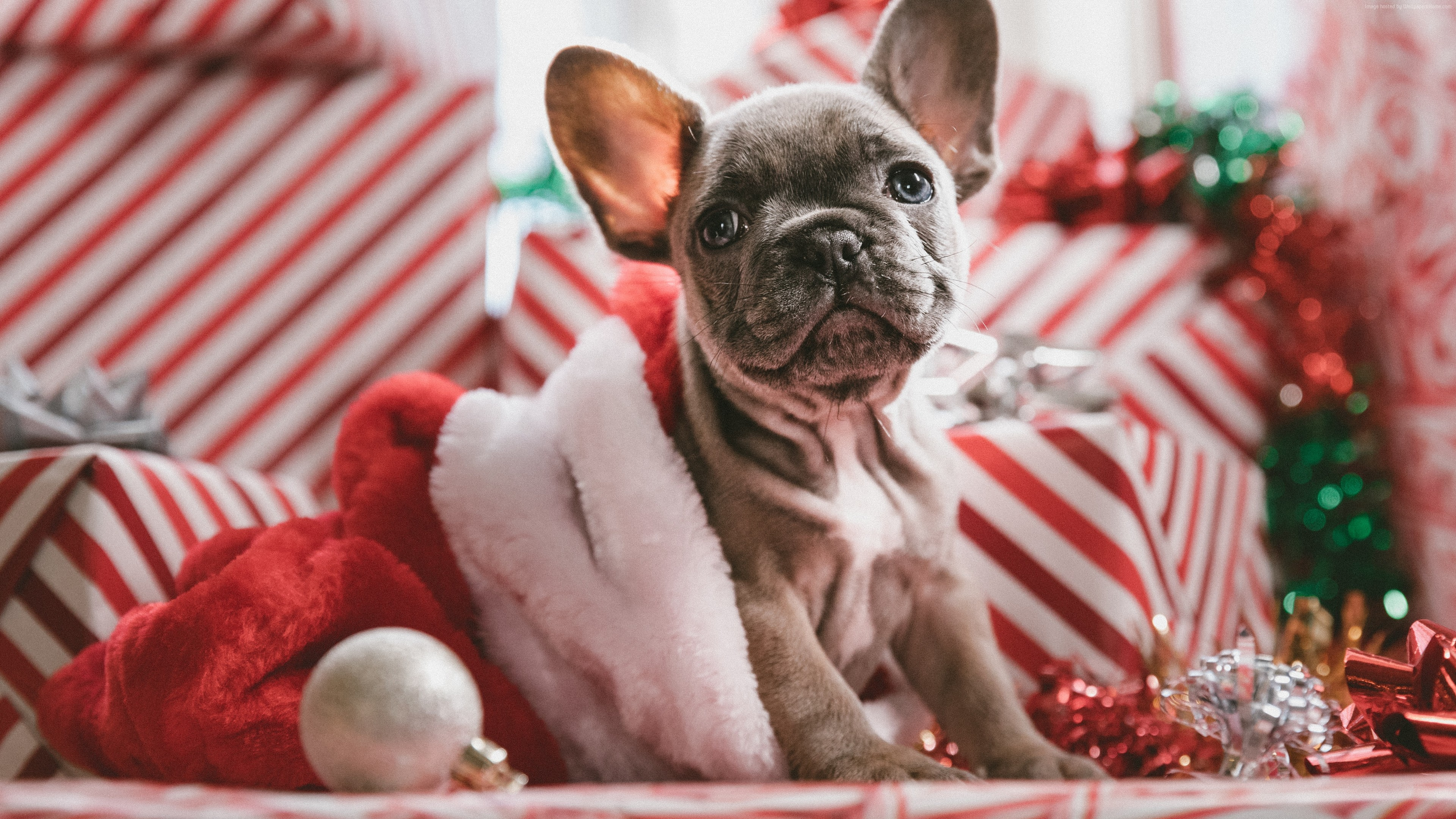 Wallpaper Christmas, New Year, puppy, cute animals, 5k, Animals