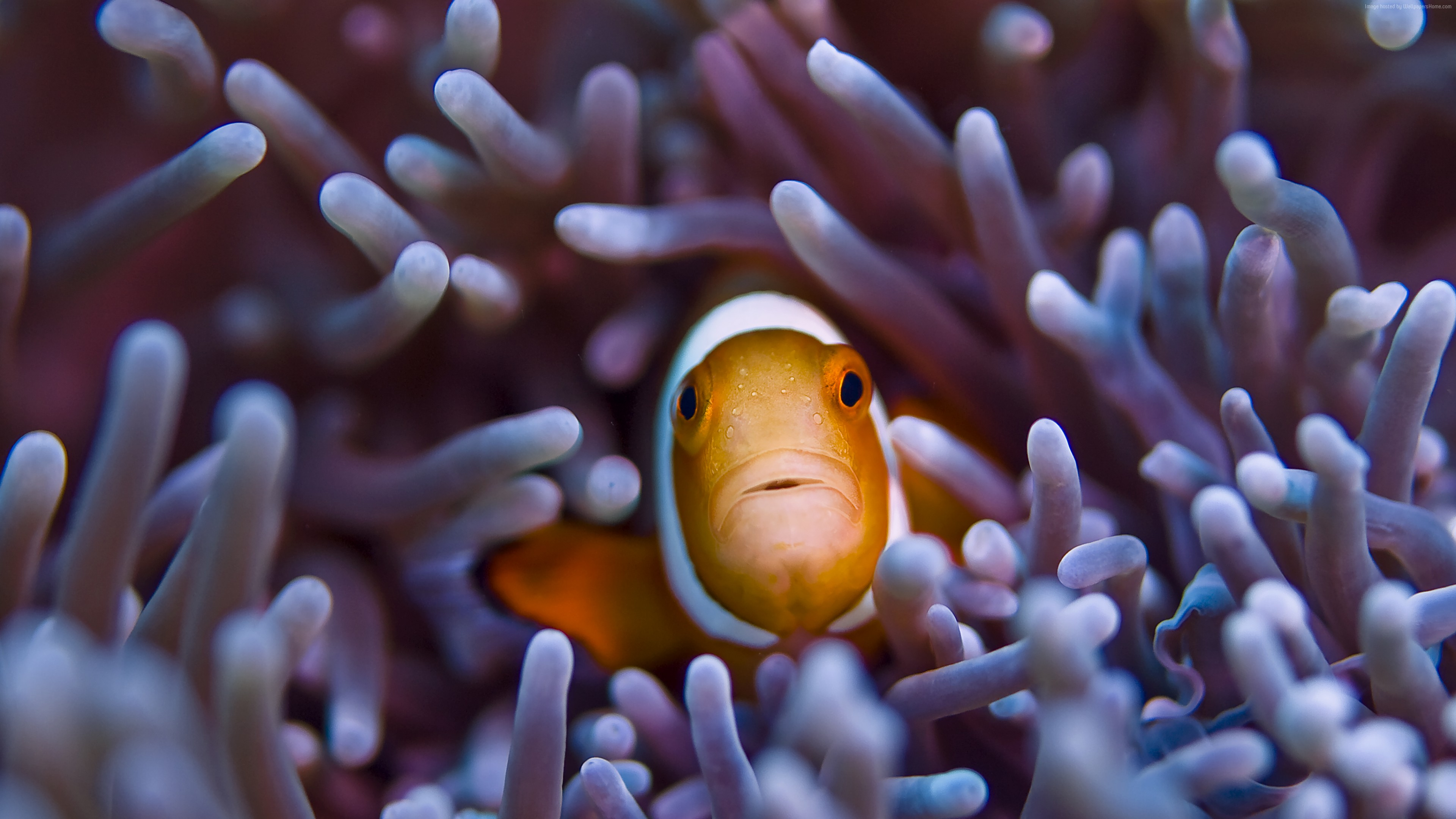 Wallpaper Clownfish, 5k, 4k wallpaper, Gili, Island, Bali, indian, pacific, underwater, diving, tourism, orange, sealife, sea, ocean, World&