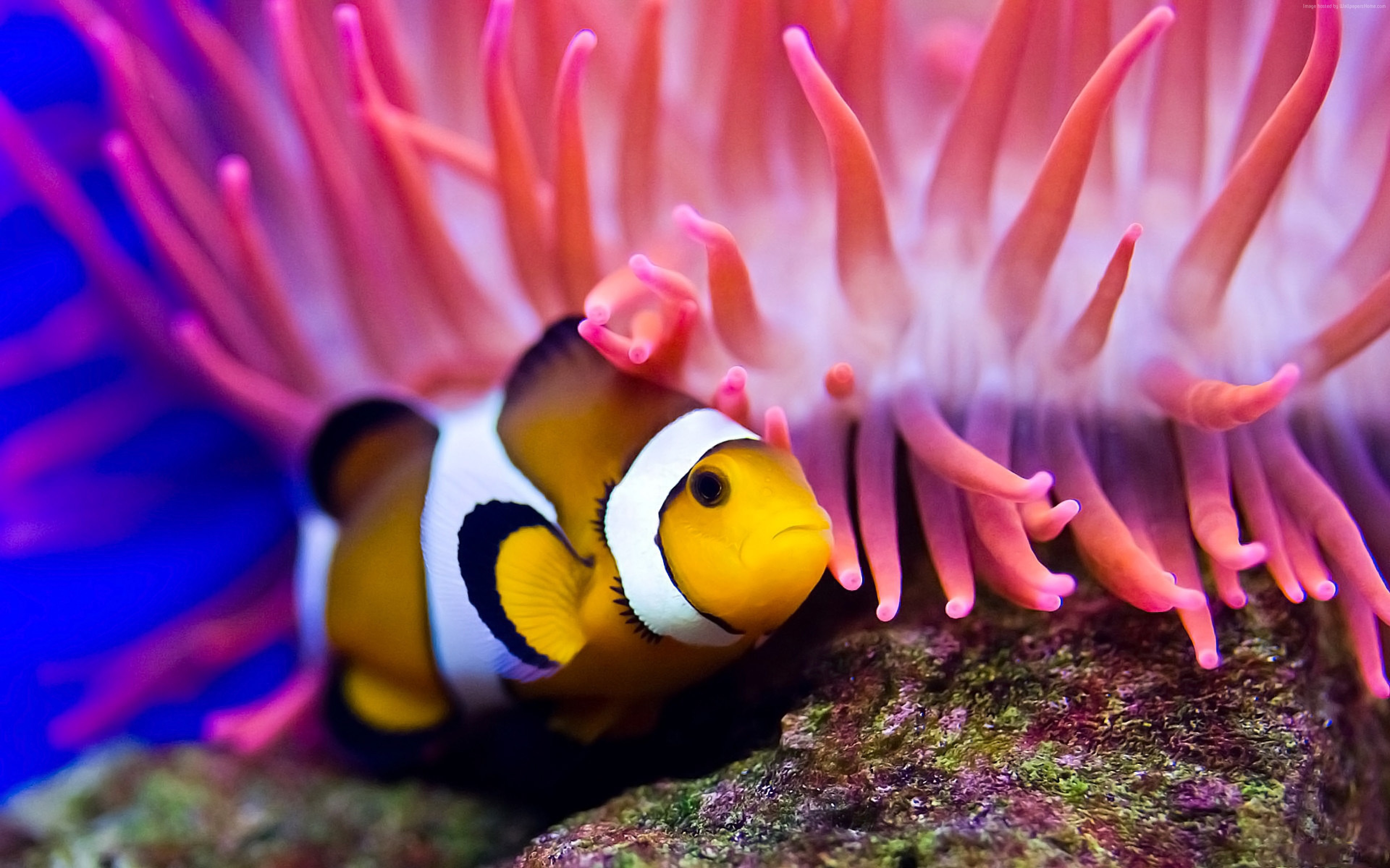 Wallpaper Clownfish, diving, Red sea, coral, World&