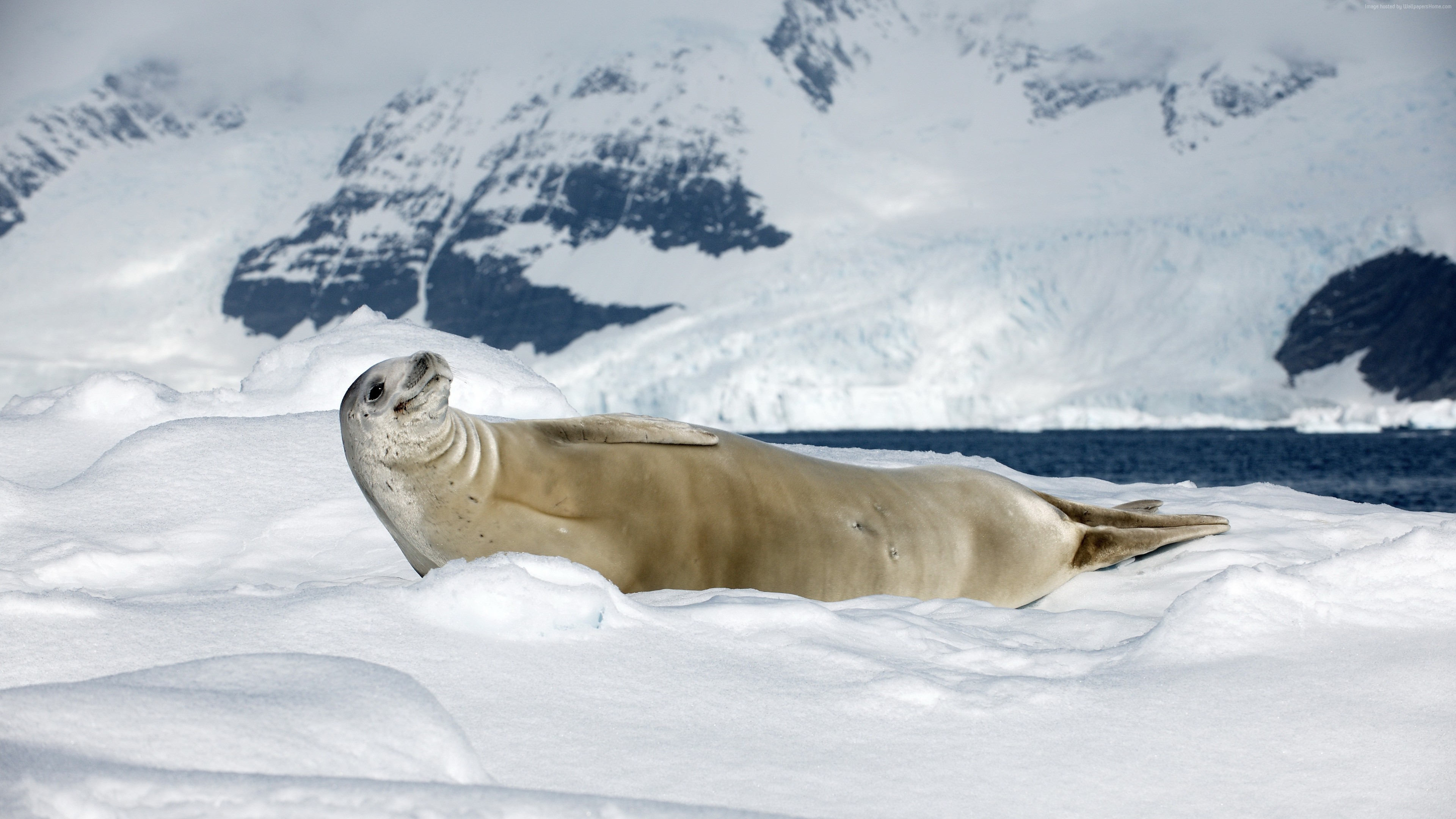 Wallpaper Crabeater seal, sea calf, Antarctica, snow, sunny day, animal, smile, Animals